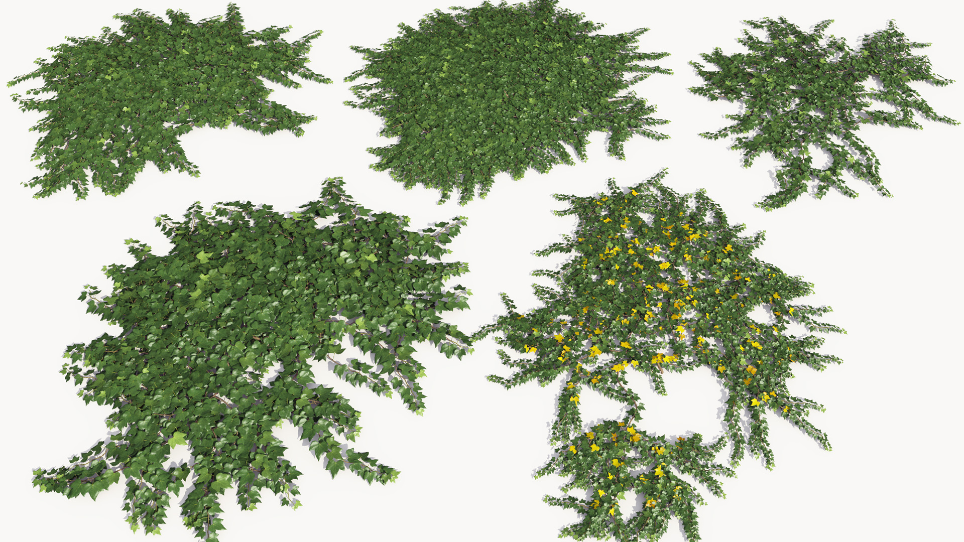 3D model of the Green ivy ground cover Hedera helix ground cover green different presets