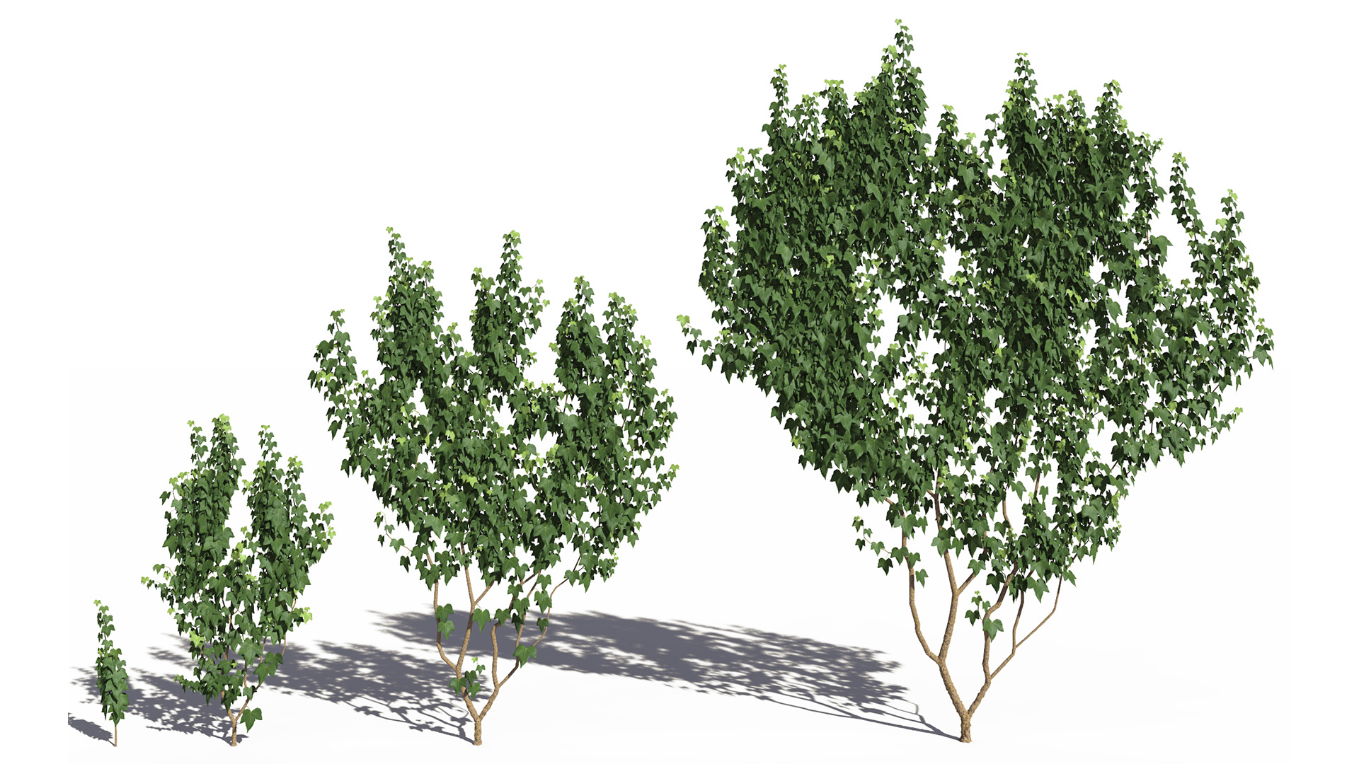 3D model of the Green ivy wall climber Hedera helix wall climber green maturity variations