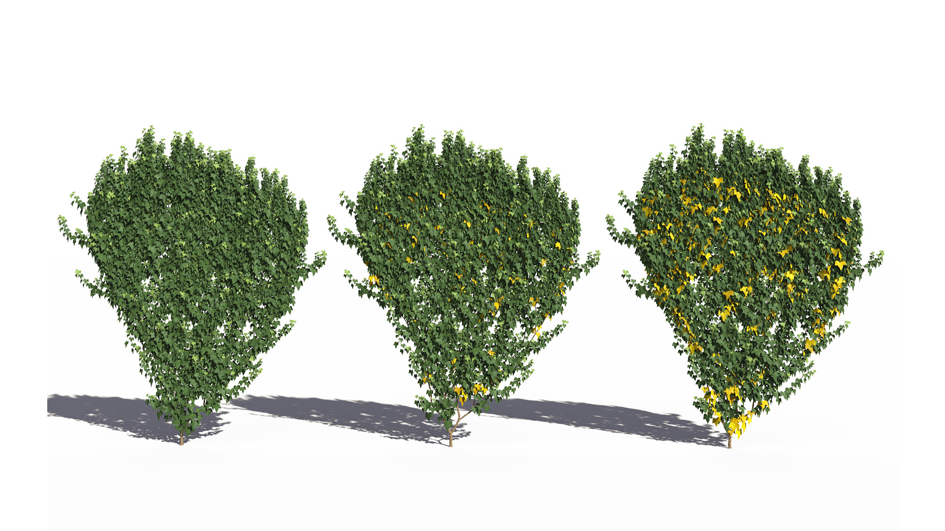 3D model of the Green ivy wall climber Hedera helix wall climber green health variations