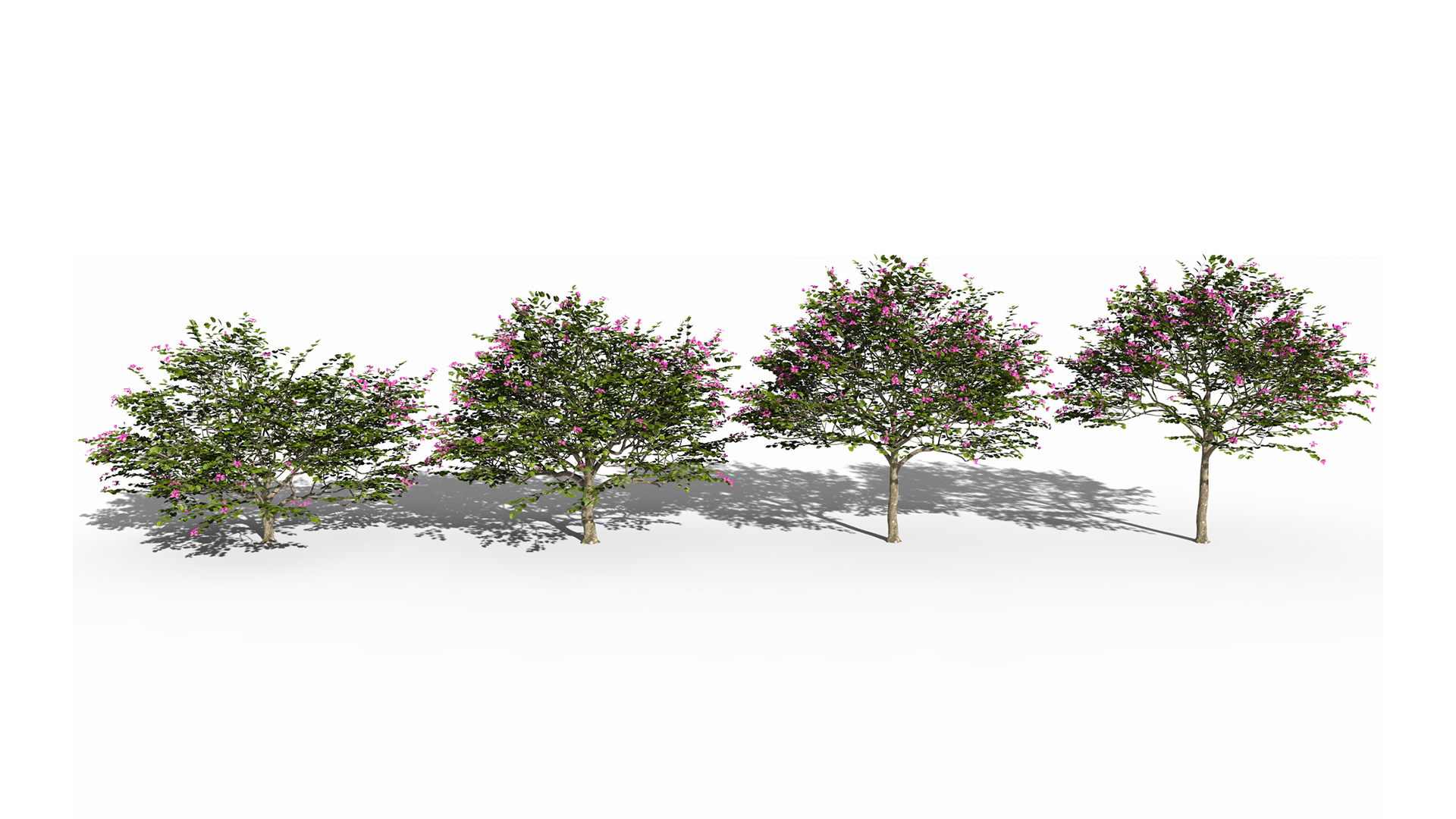 3D model of the Hong Kong orchid tree Bauhinia blakeana different presets