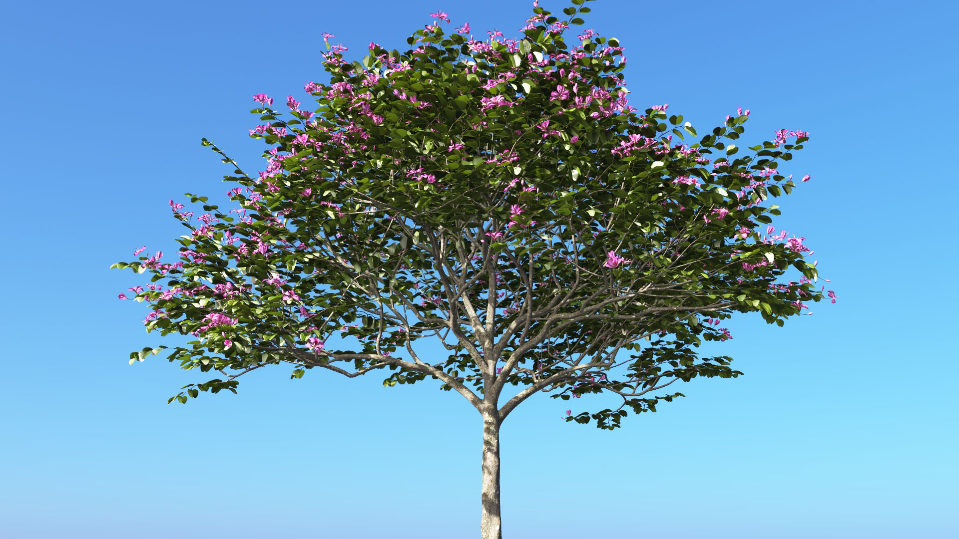 3D model of the Hong Kong orchid tree Bauhinia blakeana close-up