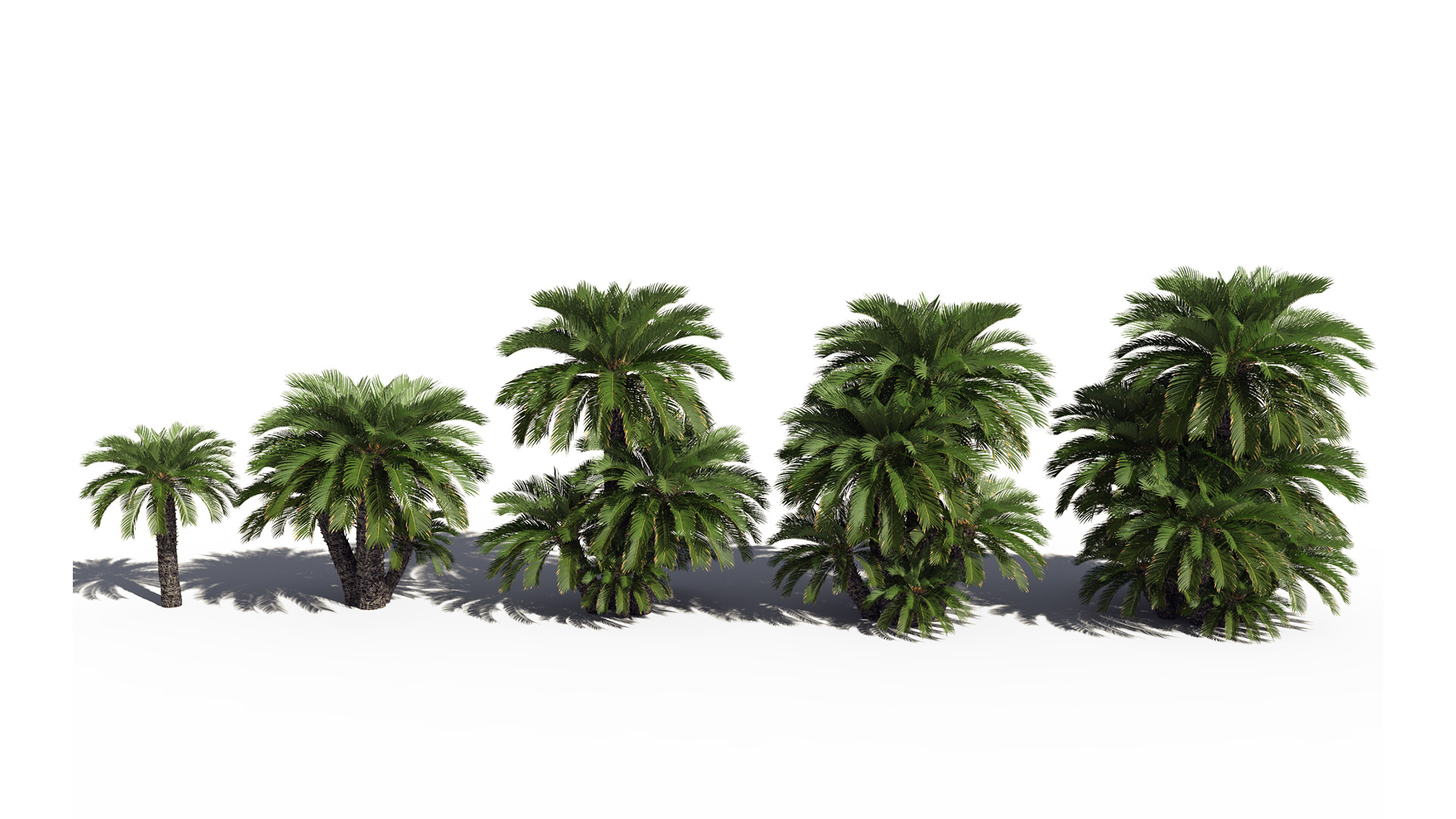3D model of the Japanese sago palm Cycas revoluta different presets