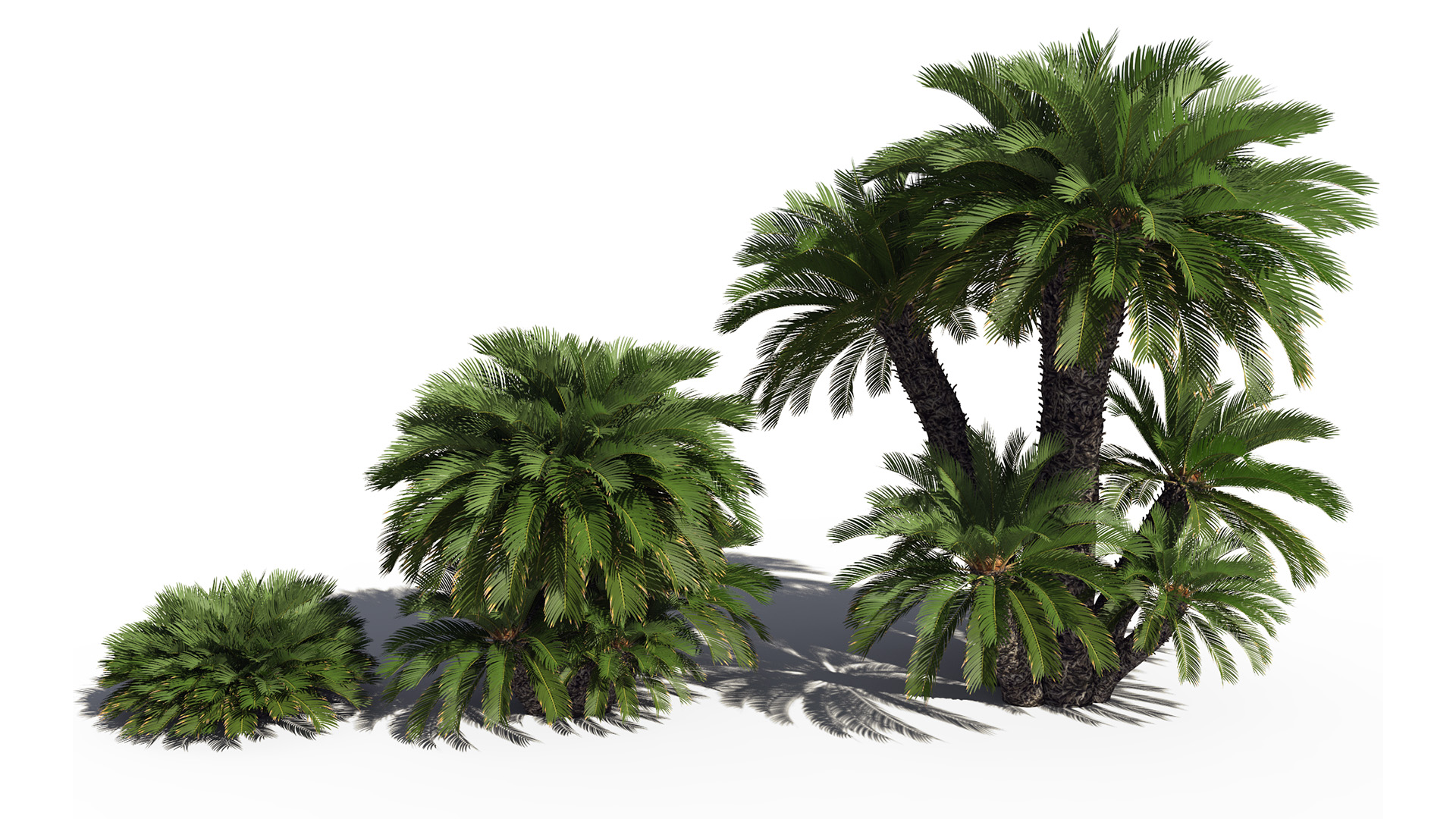 3D model of the Japanese sago palm Cycas revoluta maturity variations