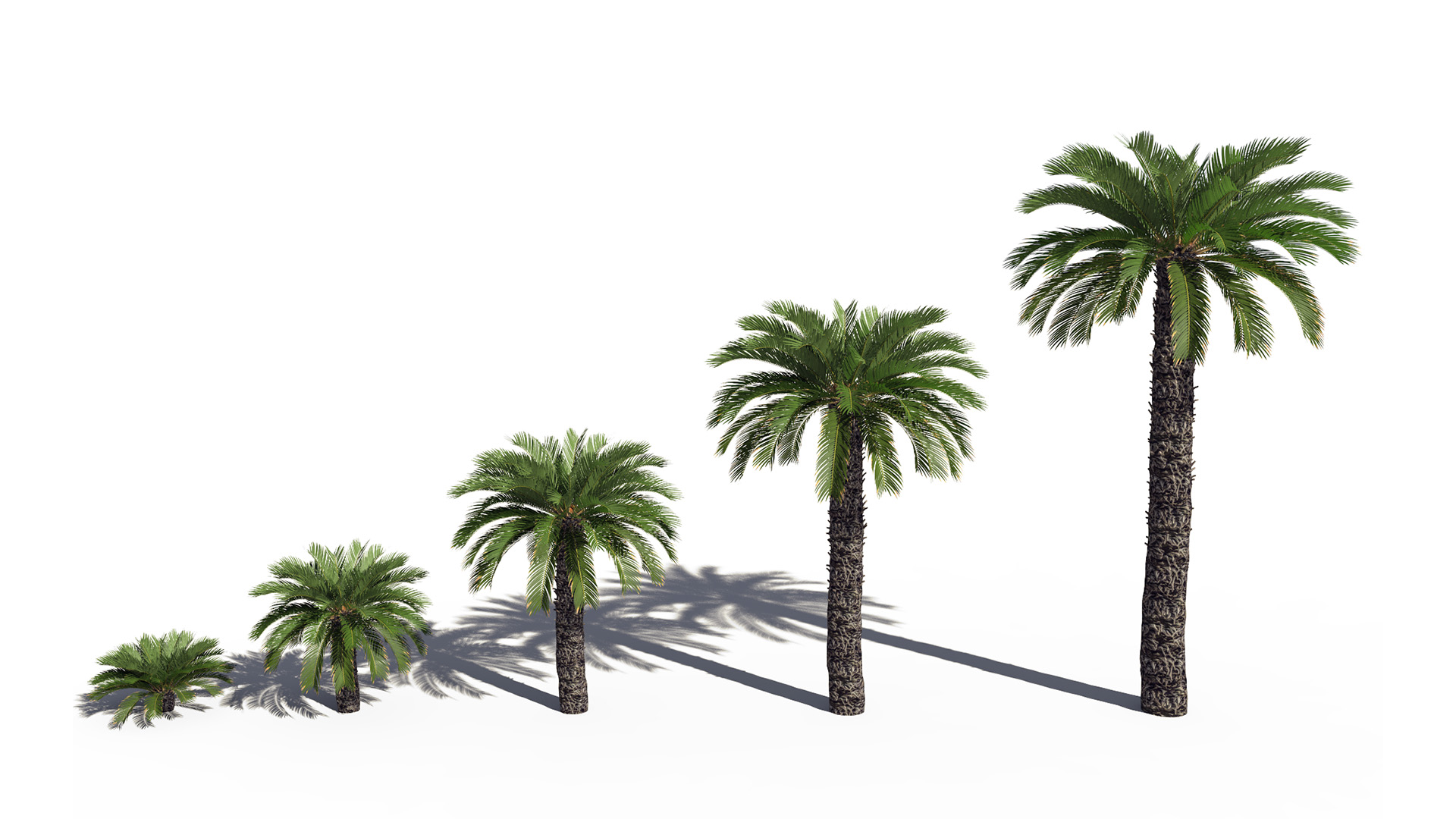 3D model of the Japanese sago palm Cycas revoluta