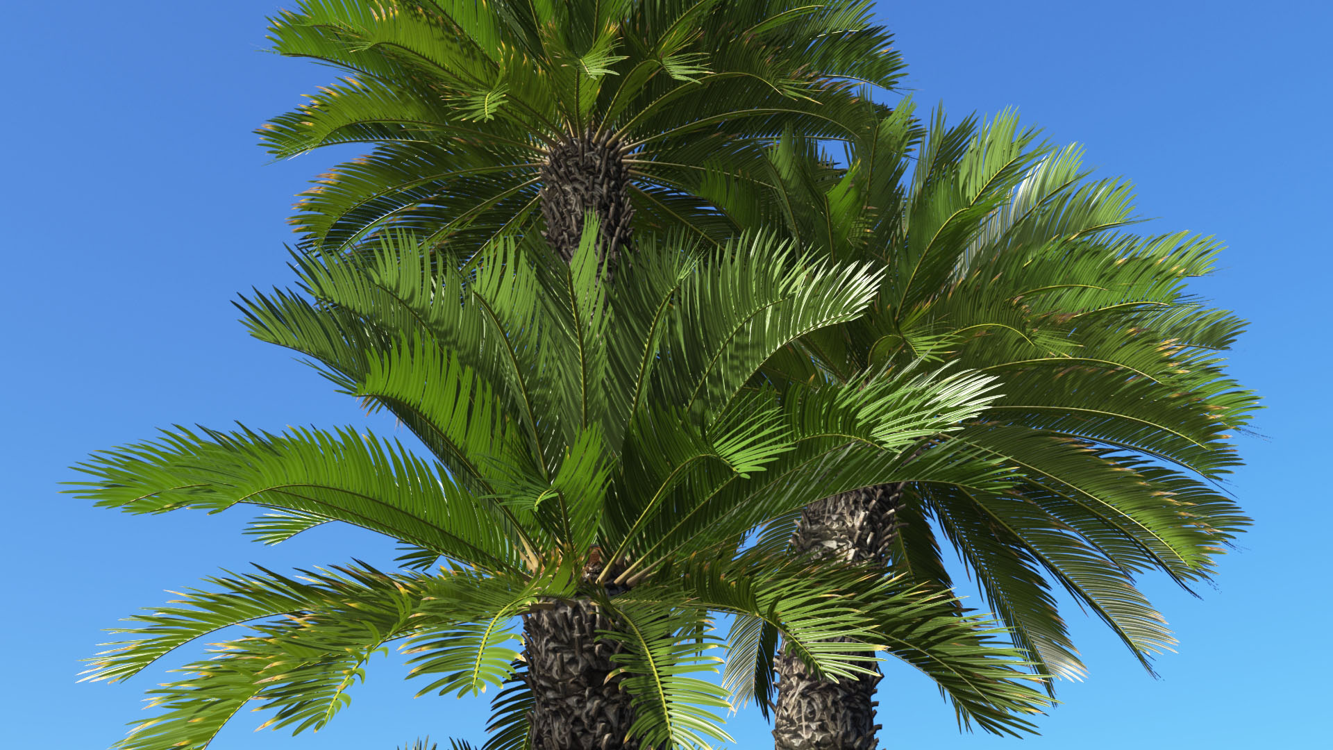 3D model of the Japanese sago palm Cycas revoluta close-up