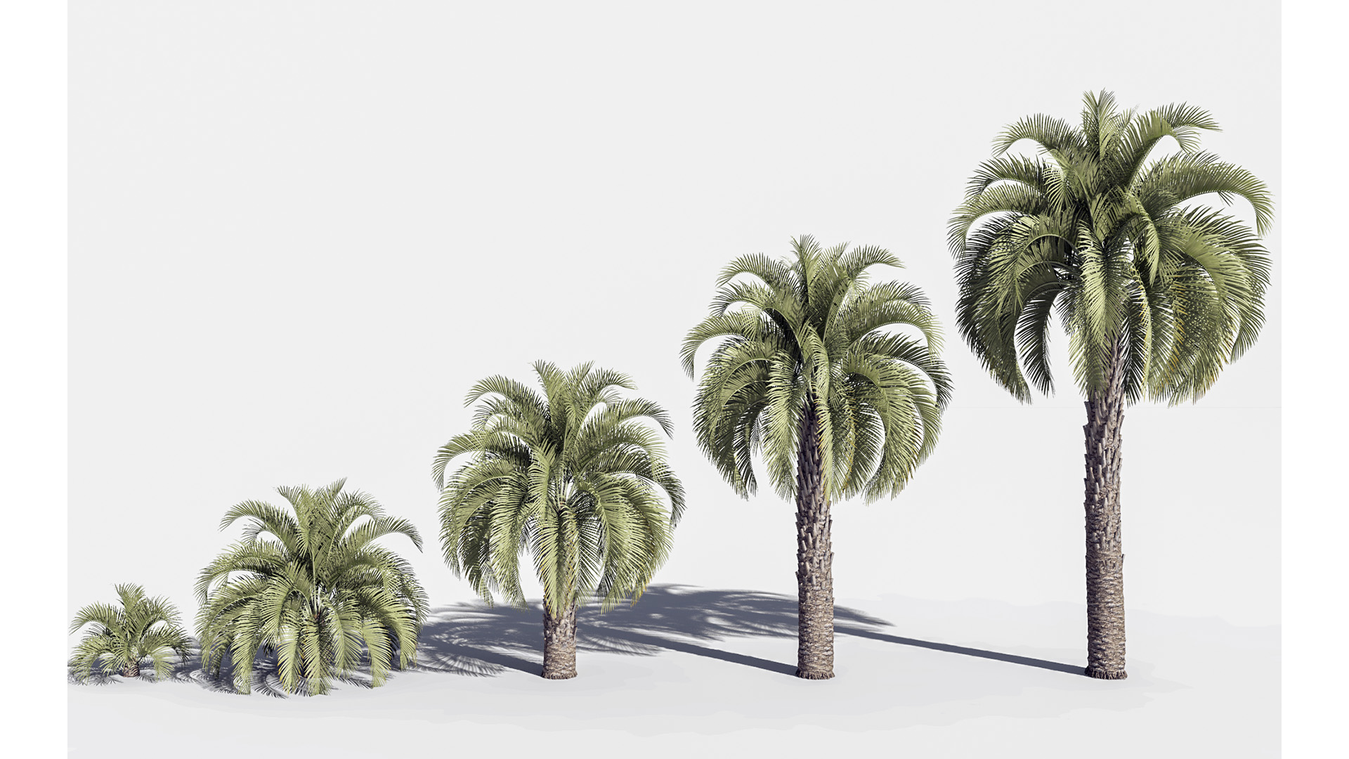 3D model of the Jelly palm Butia capitata maturity variations