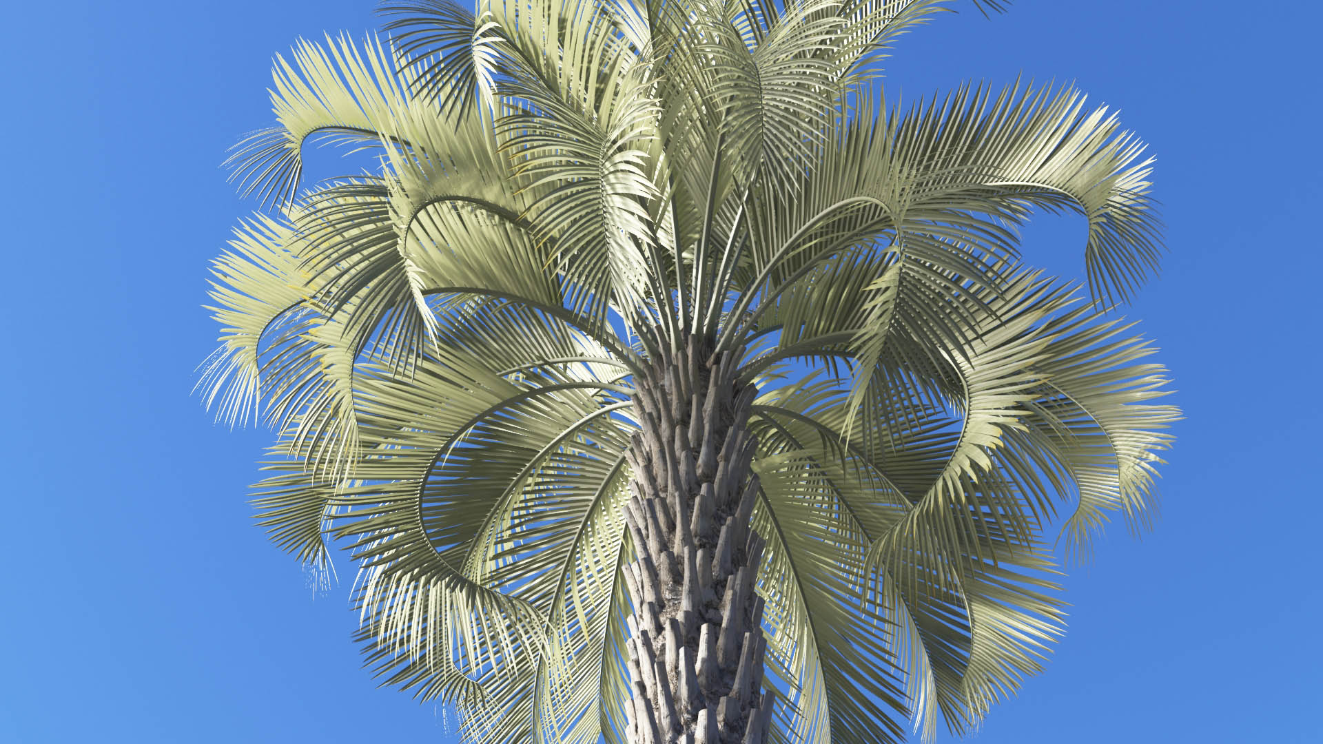 3D model of the Jelly palm Butia capitata close-up