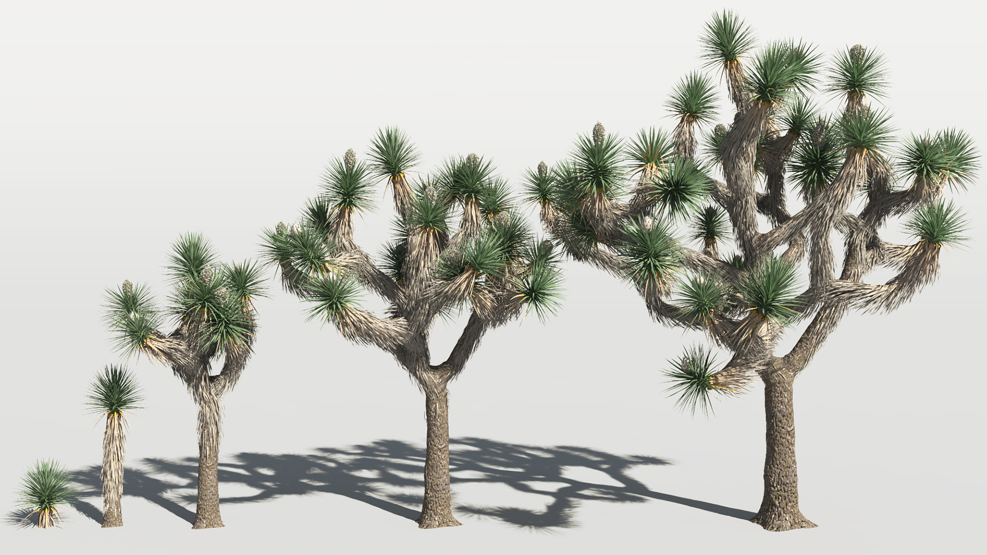 3D model of the Joshua tree Yucca brevifolia maturity variations