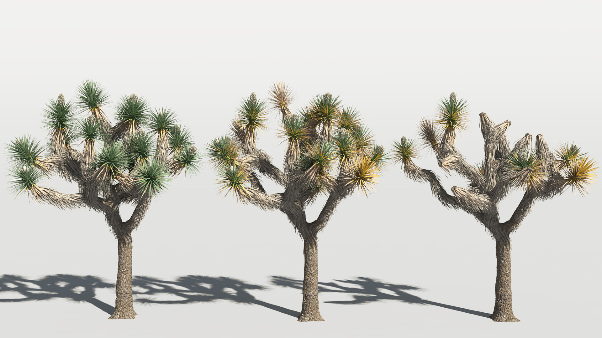 3D model of the Joshua tree Yucca brevifolia health variations