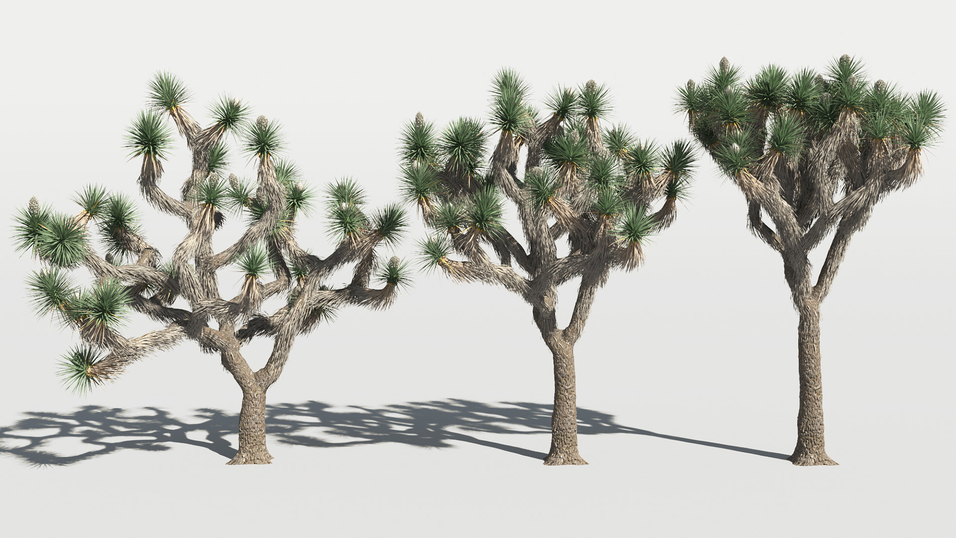 3D model of the Joshua tree Yucca brevifolia