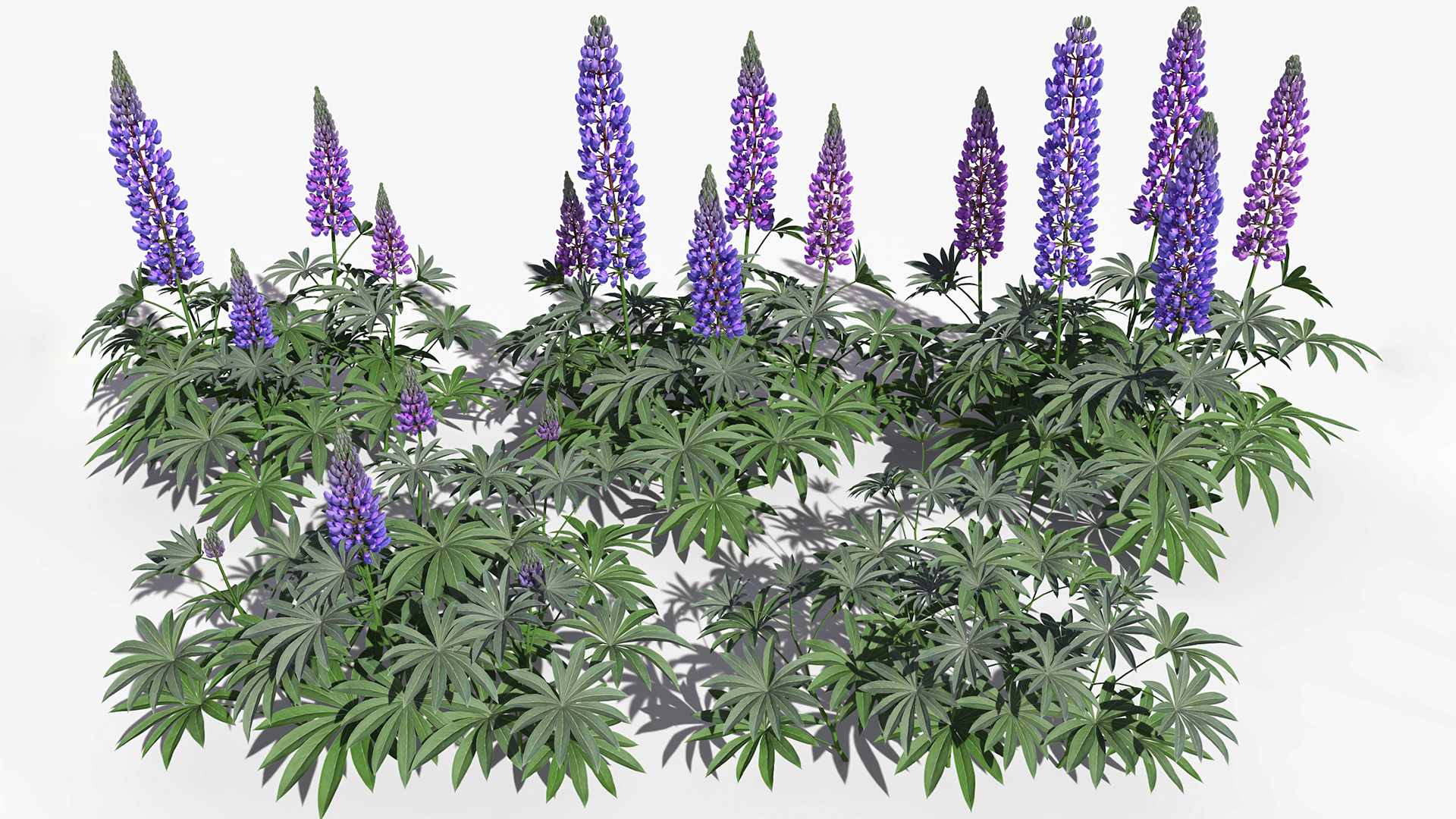 3D model of the Large-leaved lupine Lupinus polyphyllus different presets