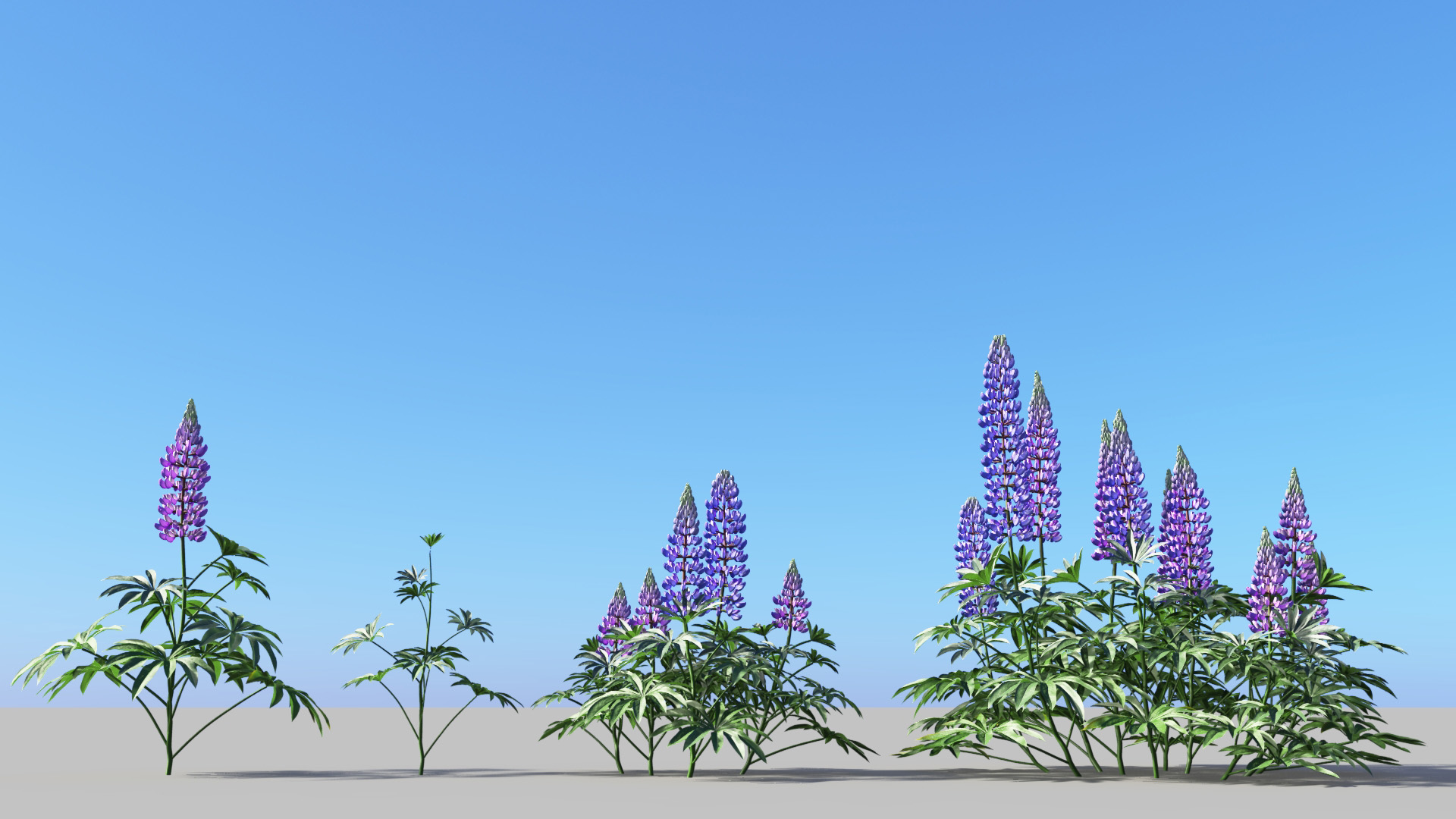 3D model of the Large-leaved lupine Lupinus polyphyllus