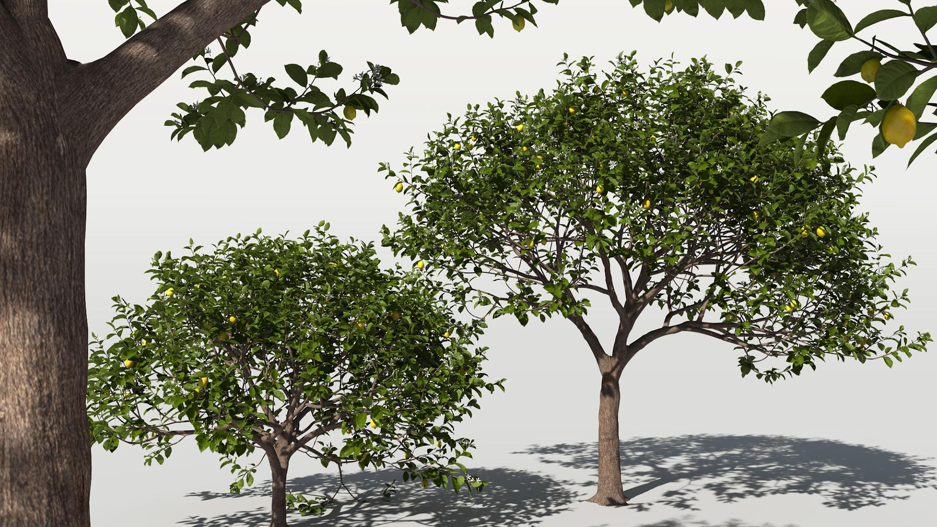 3D model of the Lemon tree Citrus x limon different presets