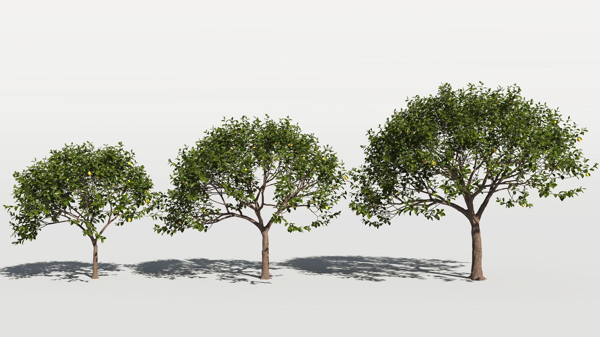 3D model of the Lemon tree Citrus x limon maturity variations