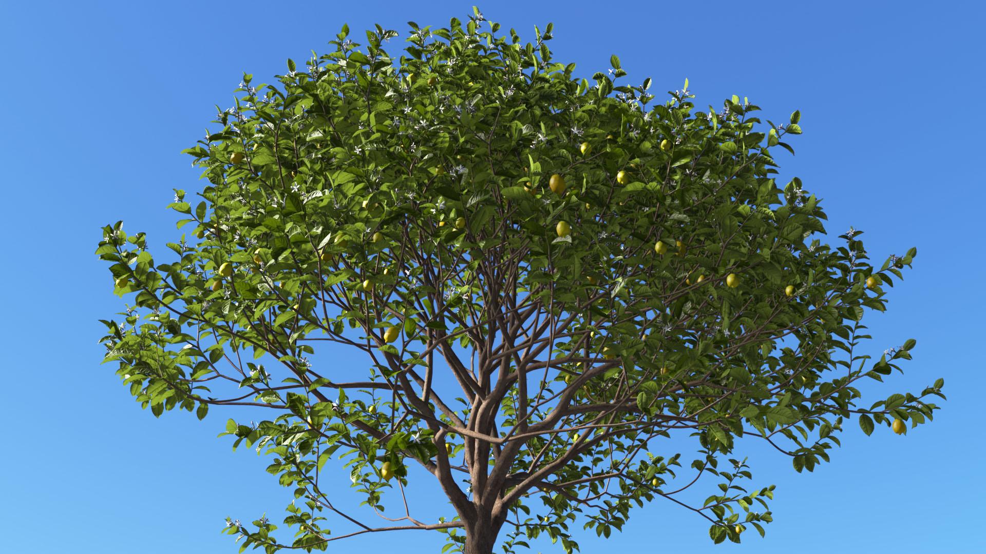 3D model of the Lemon tree Citrus x limon close-up