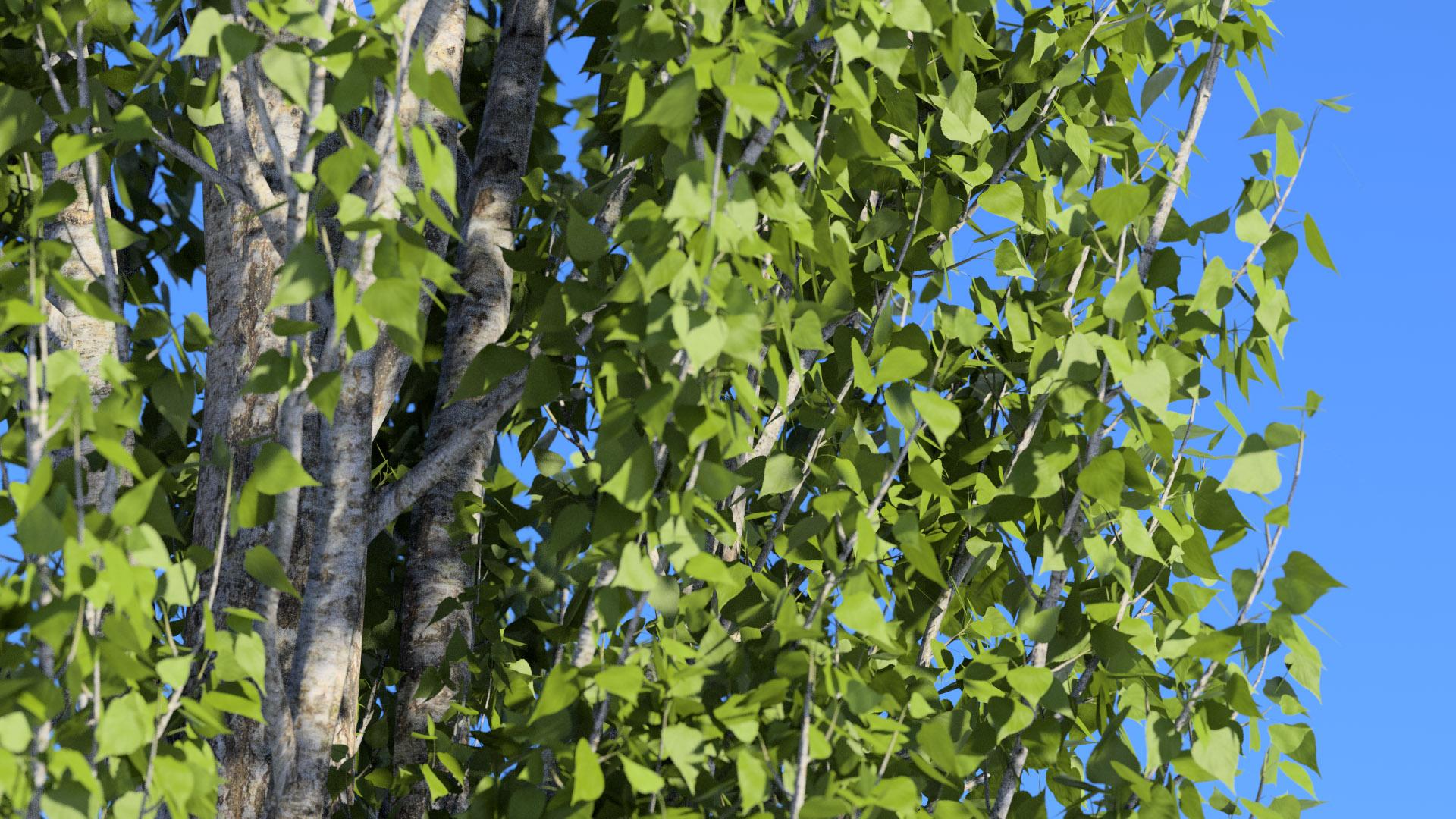 3D model of the Lombardy poplar Populus nigra