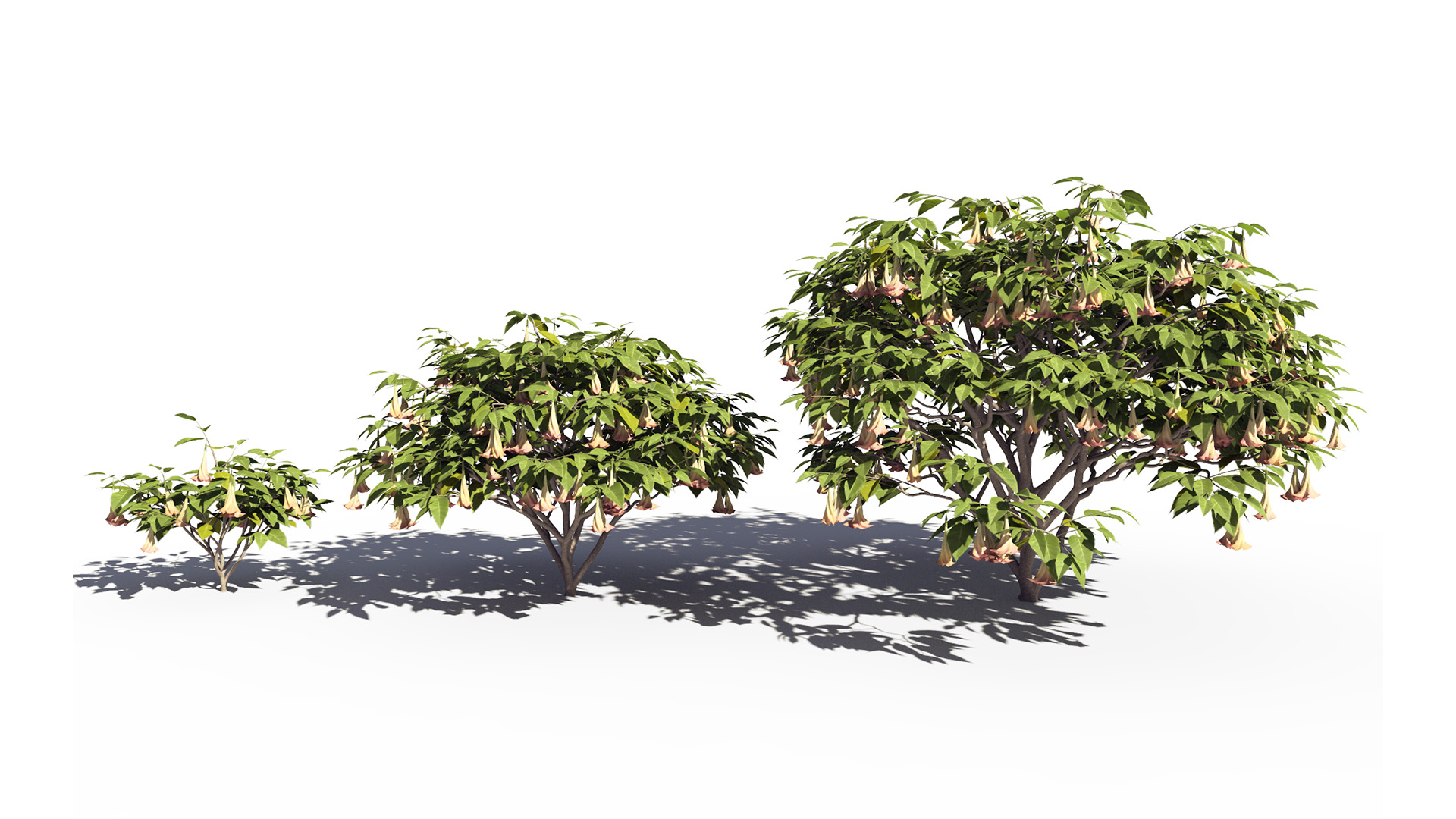 3D model of the Magnificent angels trumpet Brugmansia x insignis maturity variations