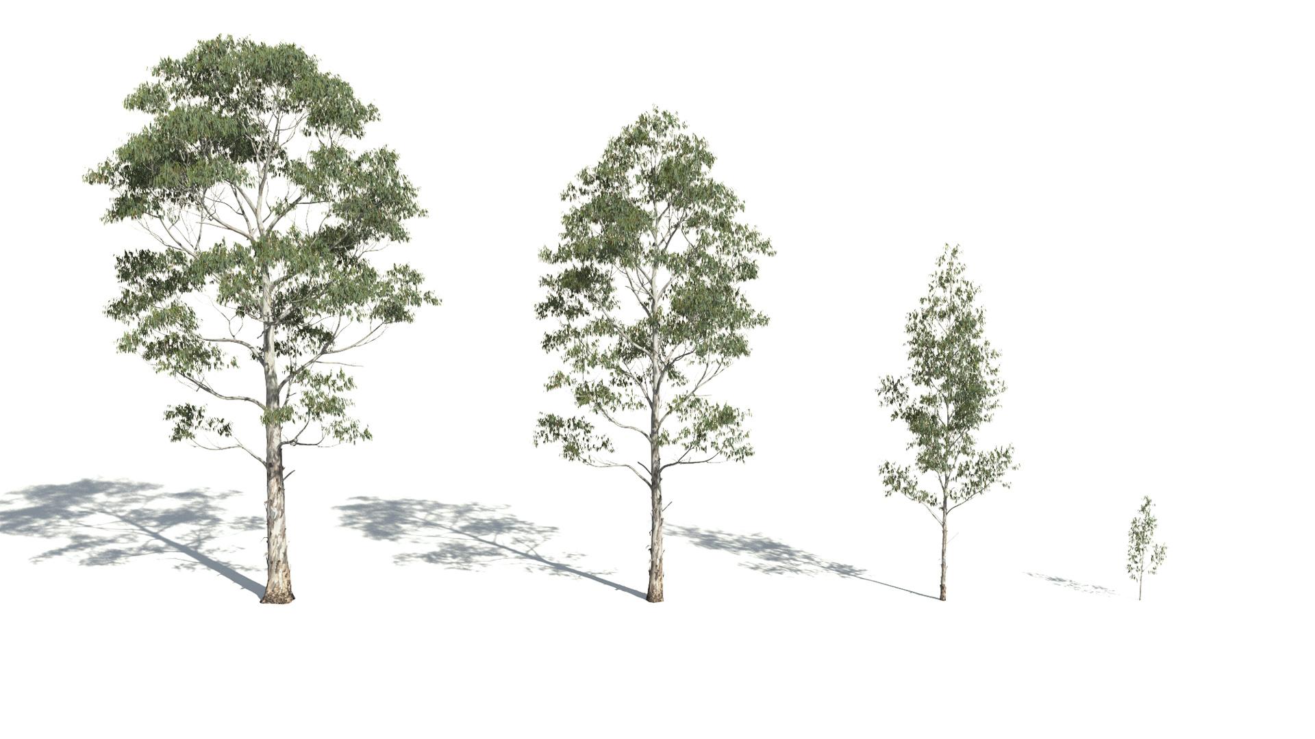 3D model of the Manna gum Eucalyptus viminalis maturity variations