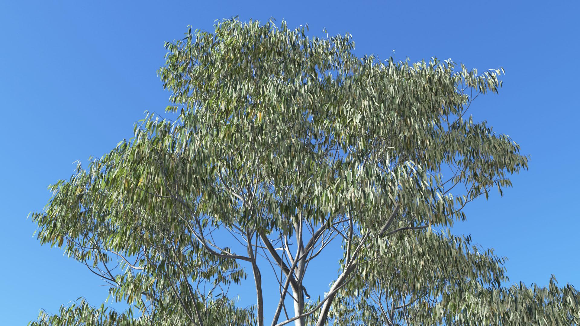 3D model of the Manna gum Eucalyptus viminalis close-up