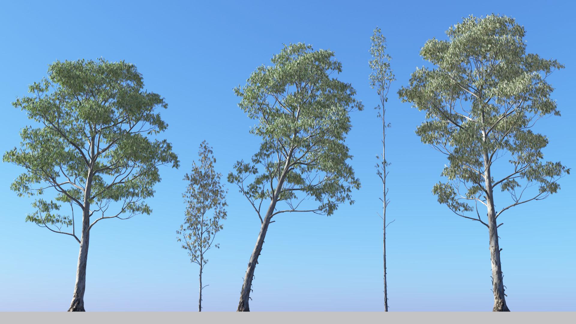 3D model of the Manna gum Eucalyptus viminalis