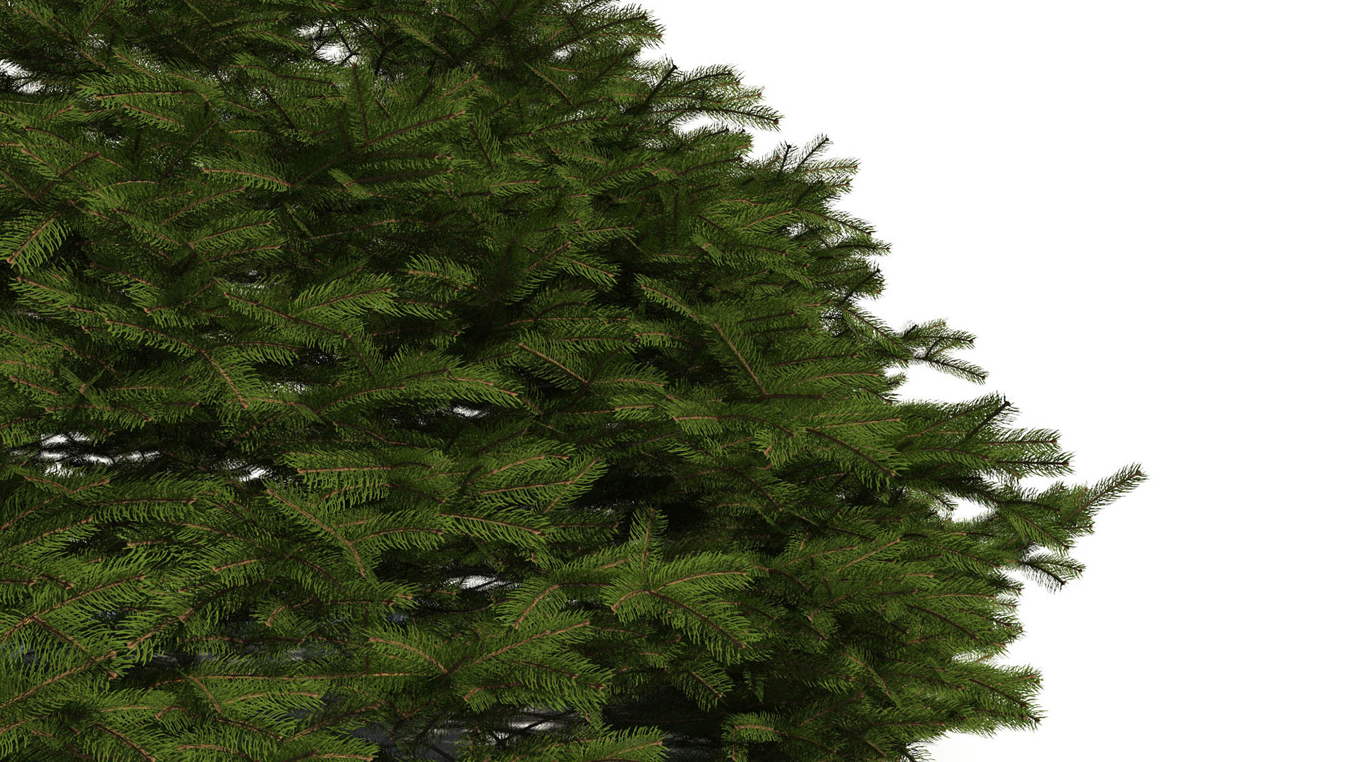 3D model of the Maxwells Norway spruce Picea abies
