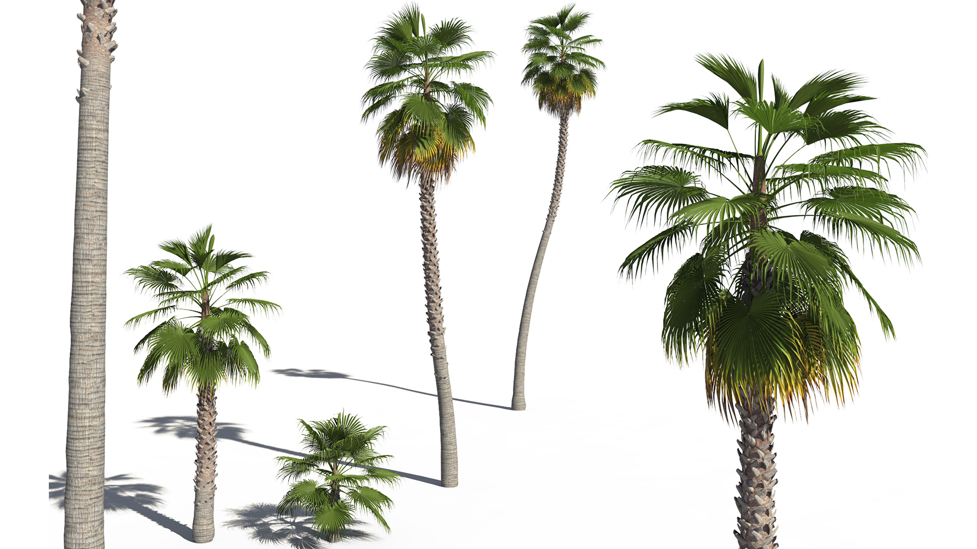 3D model of the Mexican fan palm Washingtonia robusta different presets