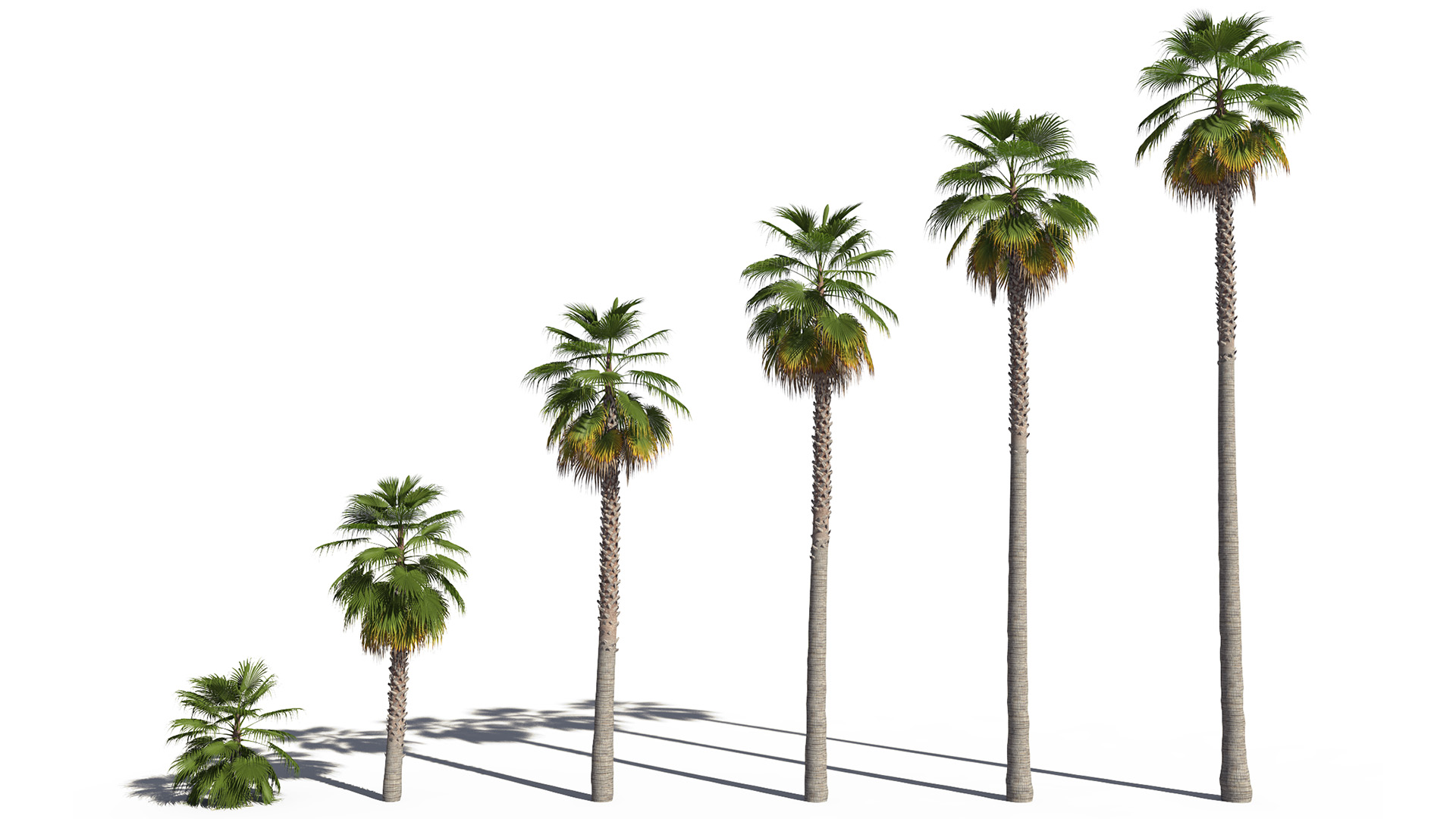 3D model of the Mexican fan palm Washingtonia robusta maturity variations