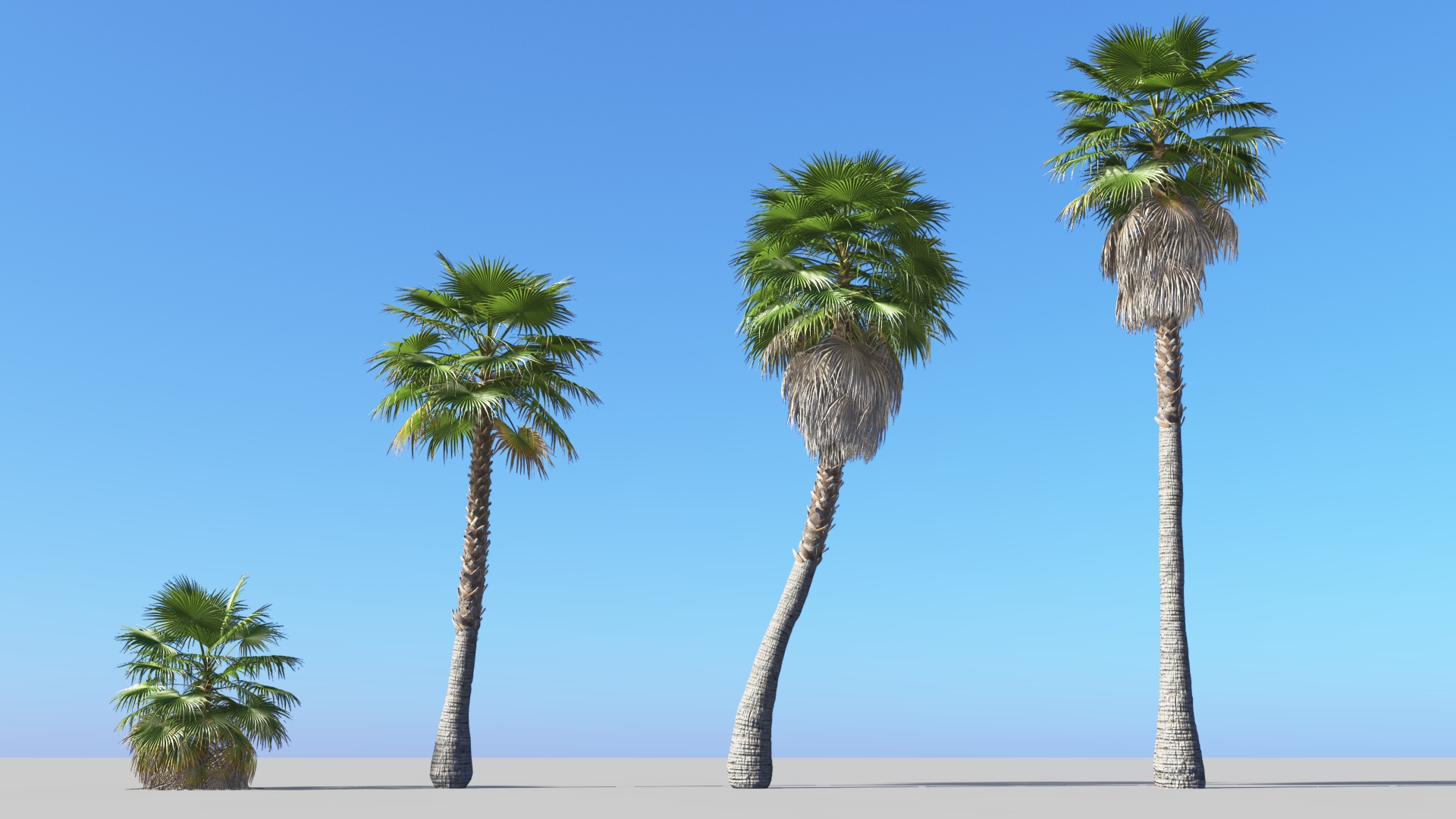 3D model of the Mexican fan palm Washingtonia robusta