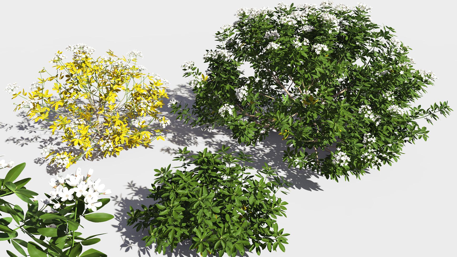 3D model of the Mexican orange blossom Choisya ternata different presets