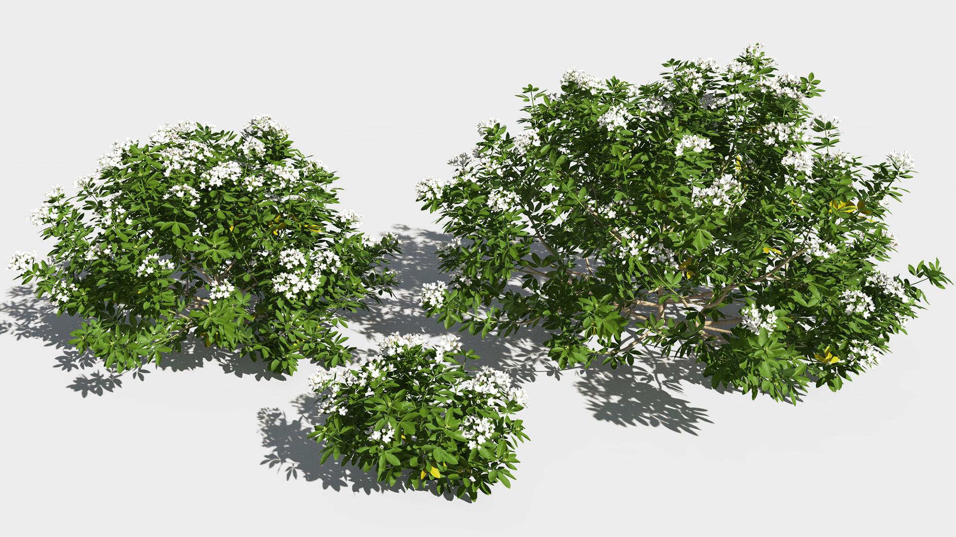3D model of the Mexican orange blossom Choisya ternata maturity variations