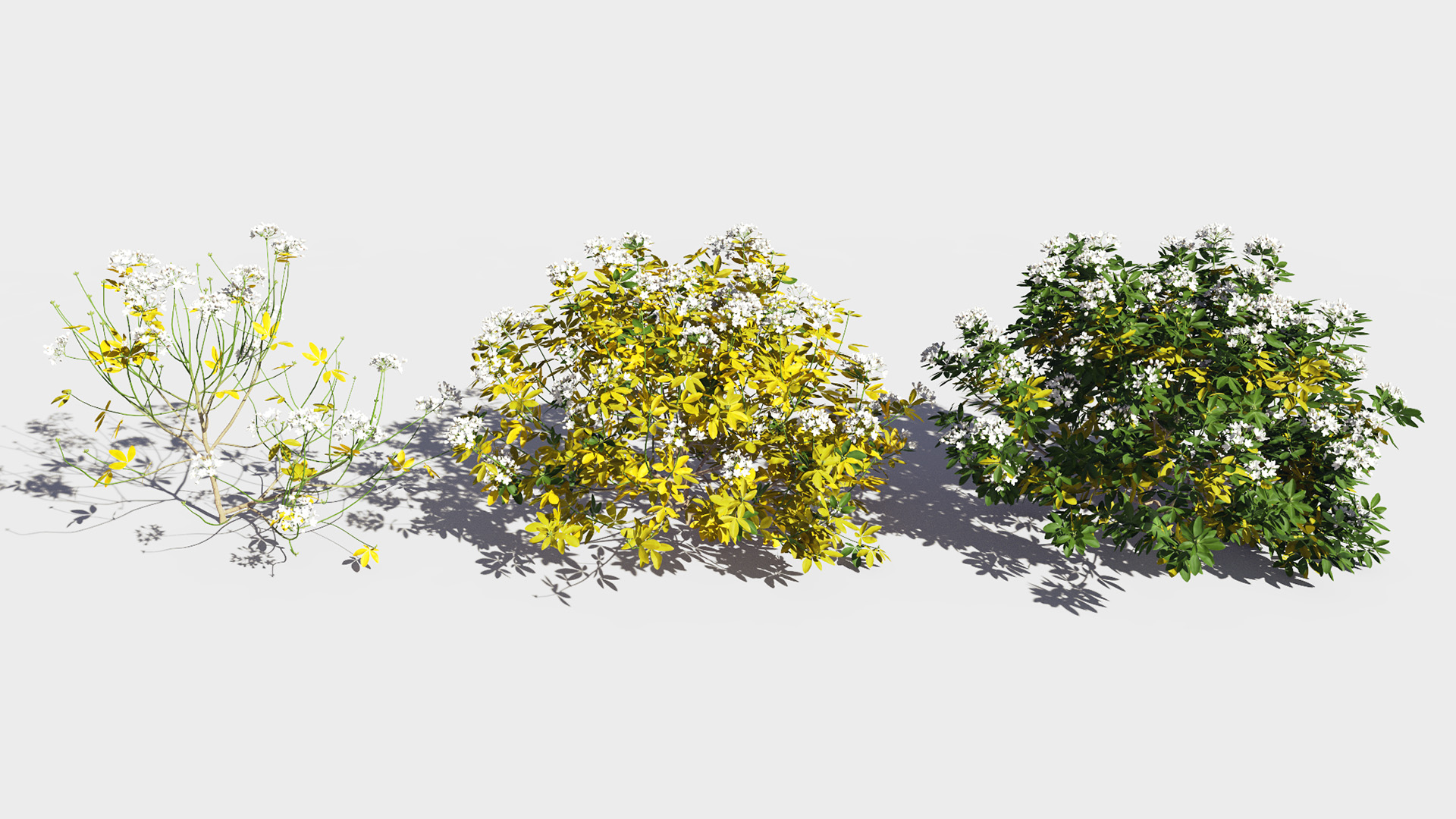 3D model of the Mexican orange blossom Choisya ternata health variations