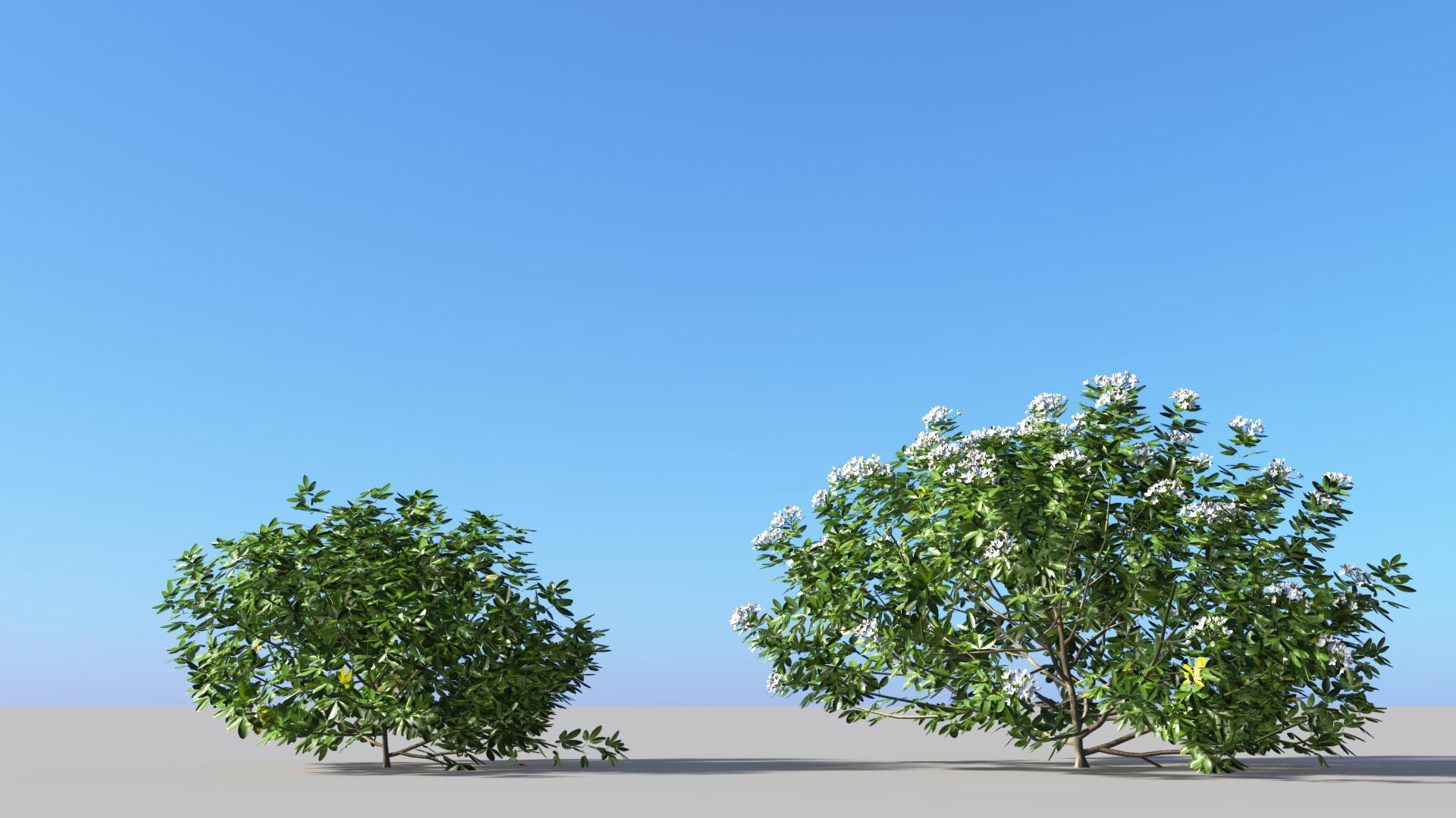 3D model of the Mexican orange blossom Choisya ternata