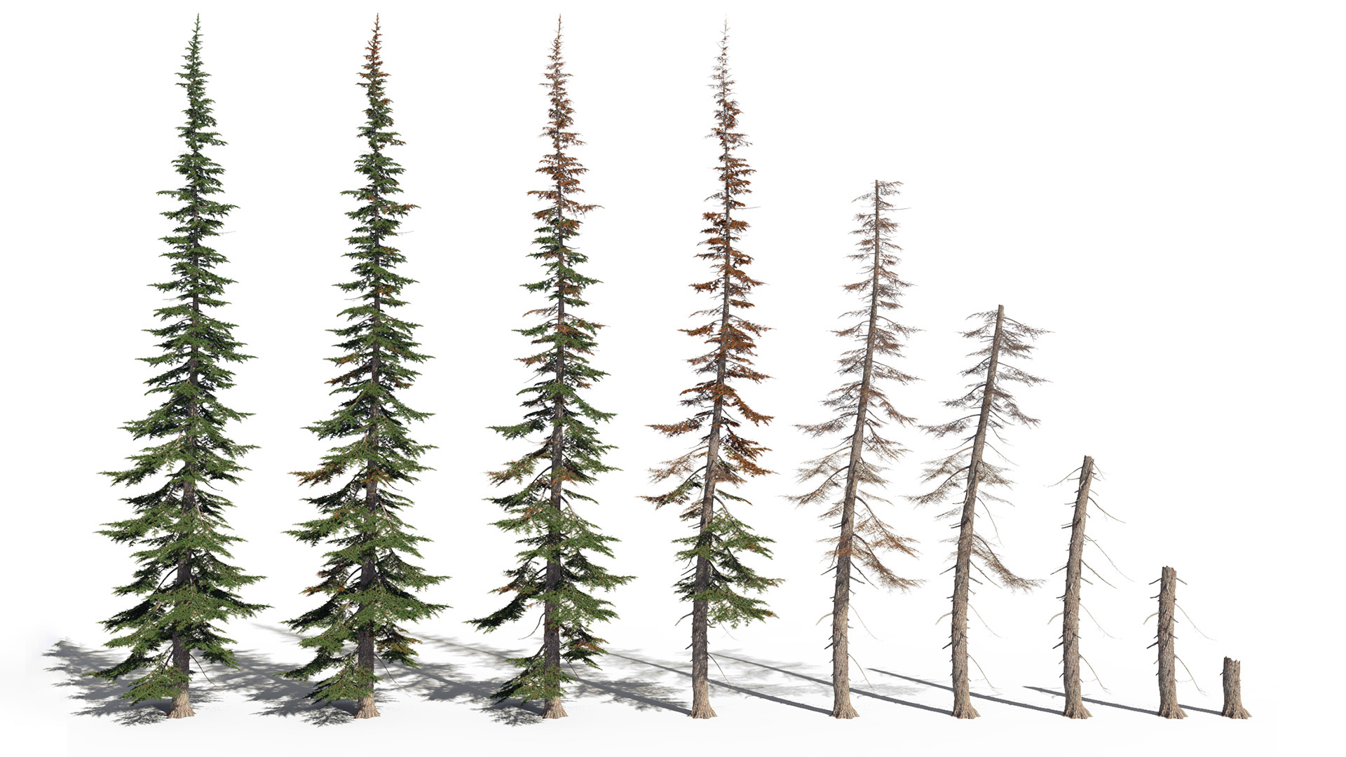 3D model of the Mountain hemlock Tsuga mertensiana health variations