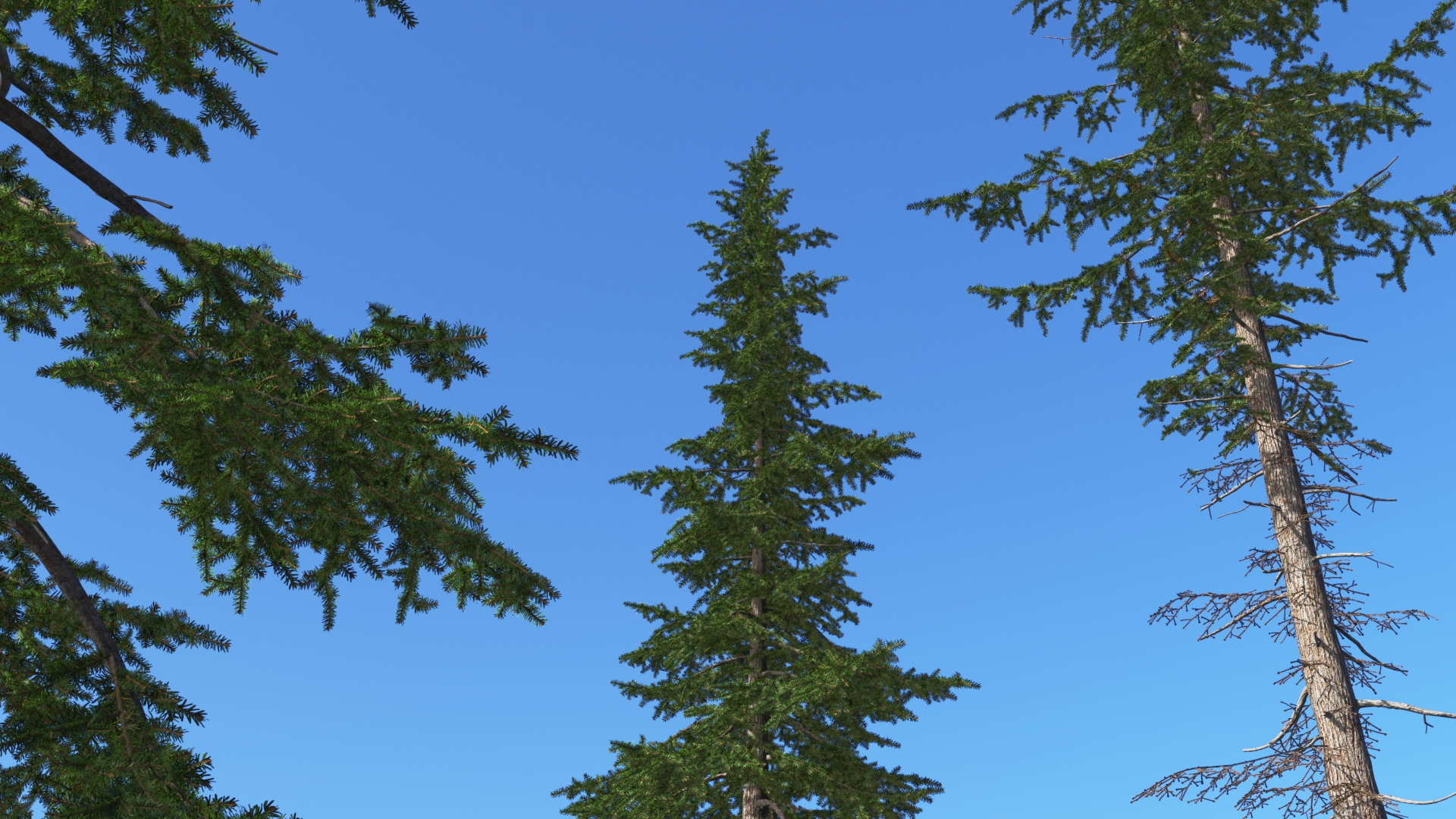 3D model of the Mountain hemlock Tsuga mertensiana close-up