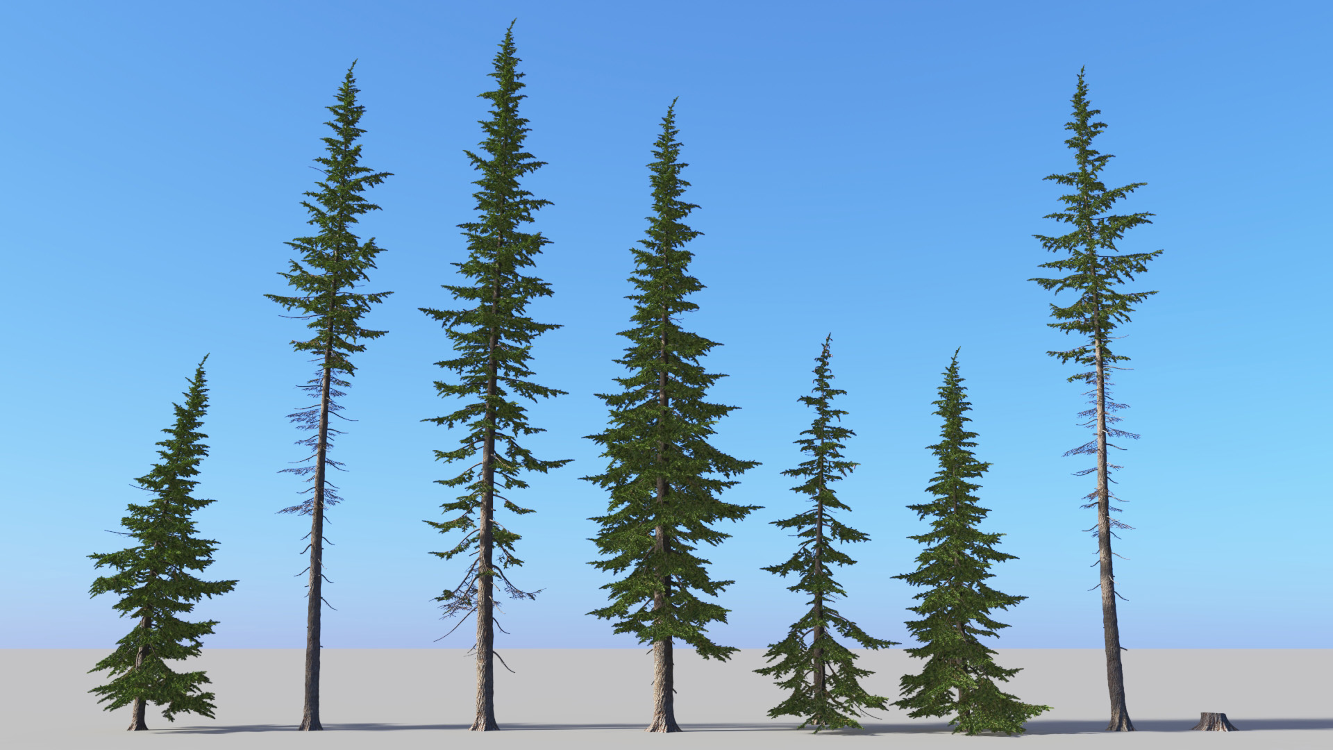 3D model of the Mountain hemlock Tsuga mertensiana