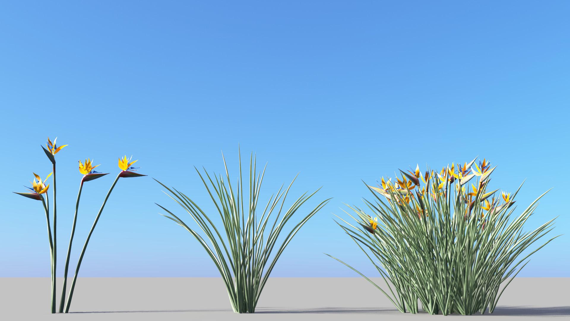 3D model of the Narrow leaved bird of paradise Strelitzia juncea