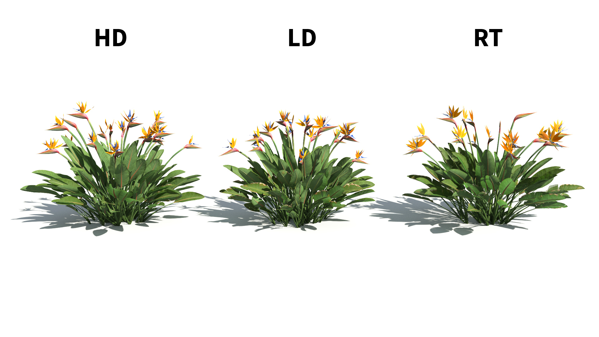 3D model of the Narrow leaved bird of paradise Strelitzia juncea included versions