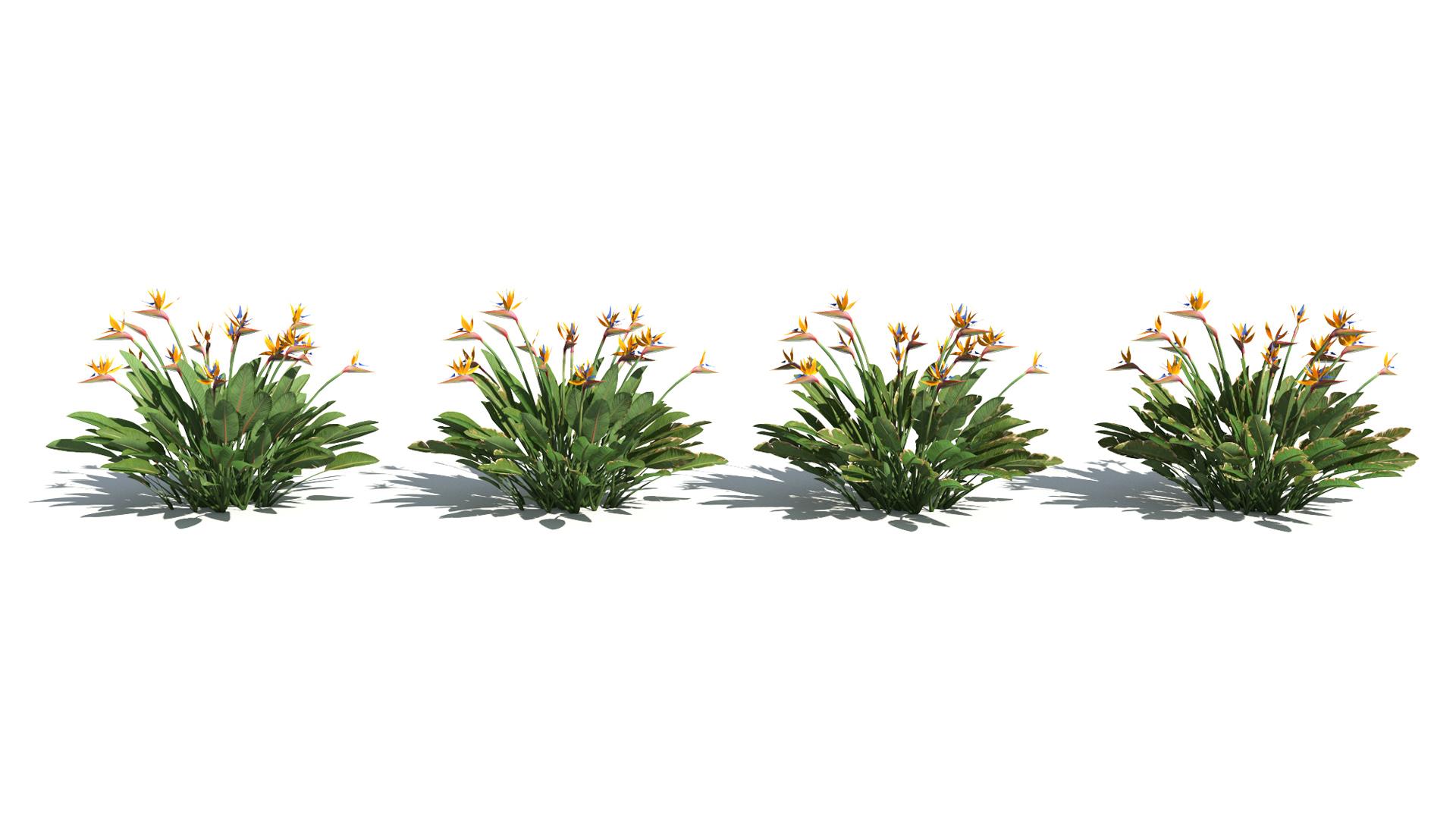 3D model of the Narrow leaved bird of paradise Strelitzia juncea health variations