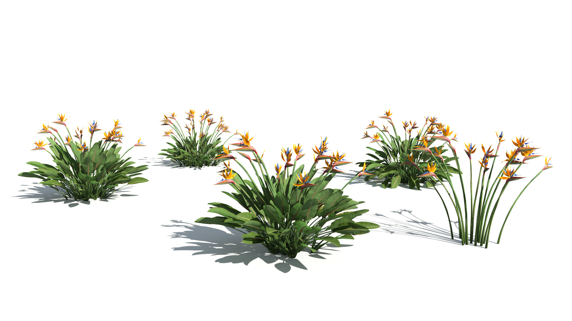 3D model of the Narrow leaved bird of paradise Strelitzia juncea published parameters