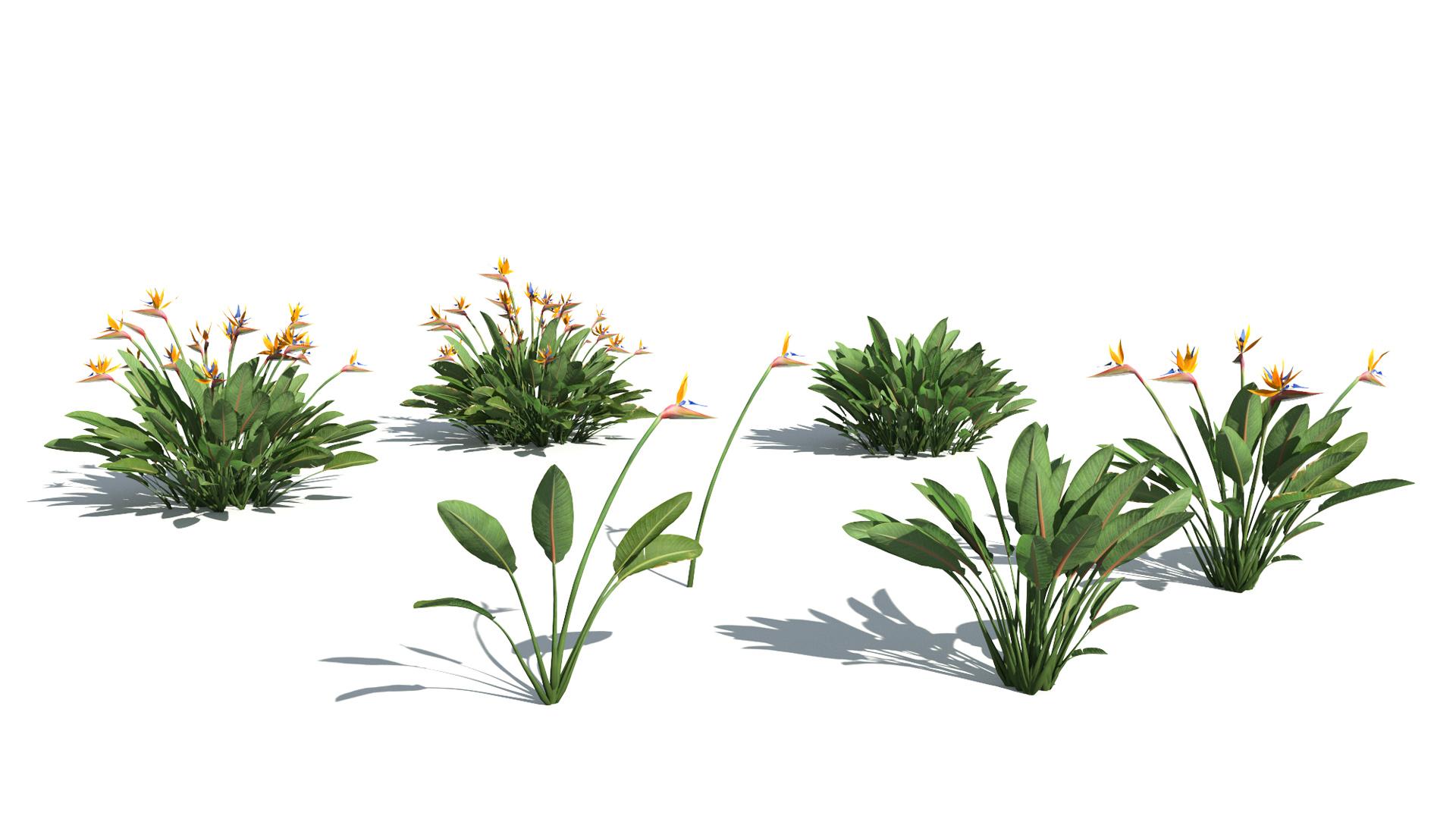 3D model of the Narrow leaved bird of paradise Strelitzia juncea different presets