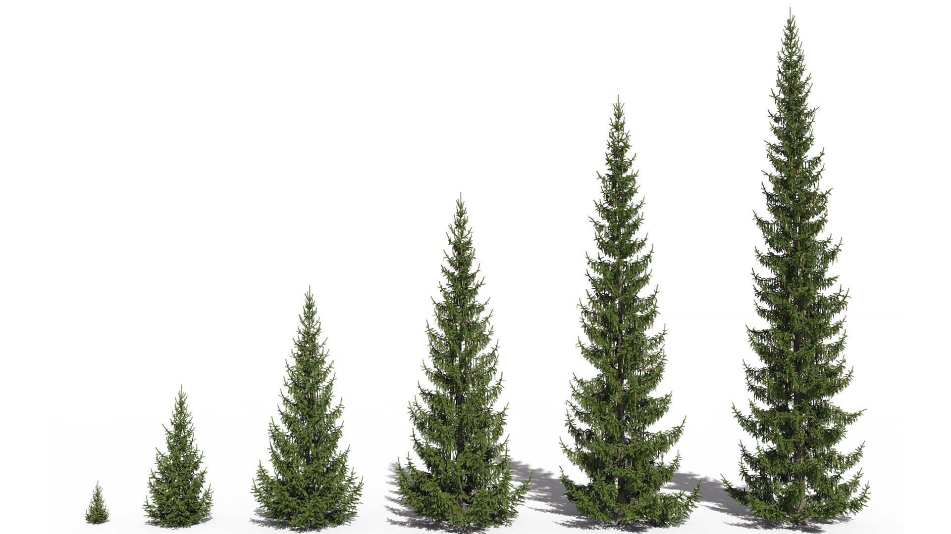 3D model of the Norway spruce Picea abies maturity variations