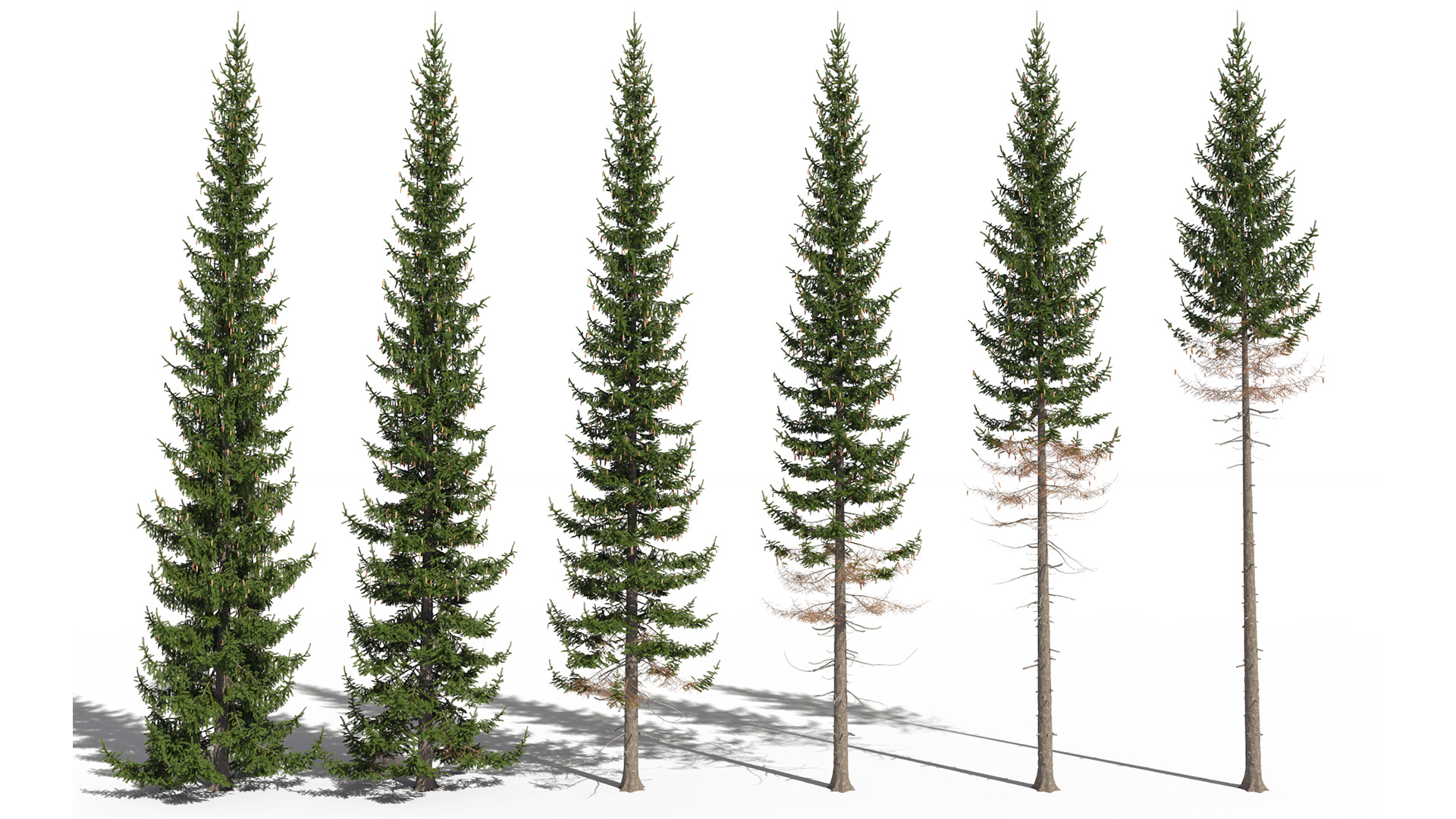 3D model of the Norway spruce Picea abies