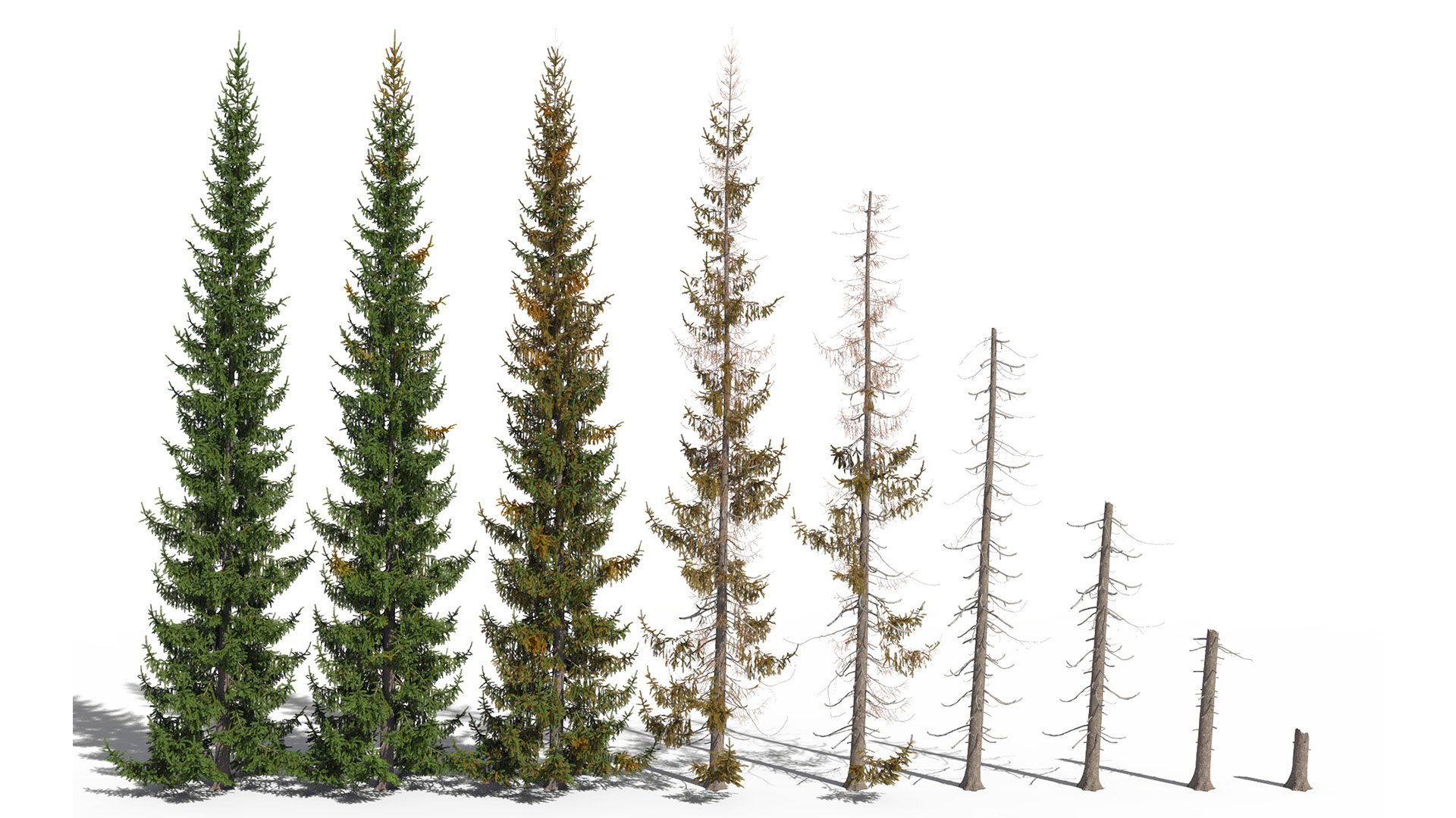 3D model of the Norway spruce Picea abies health variations