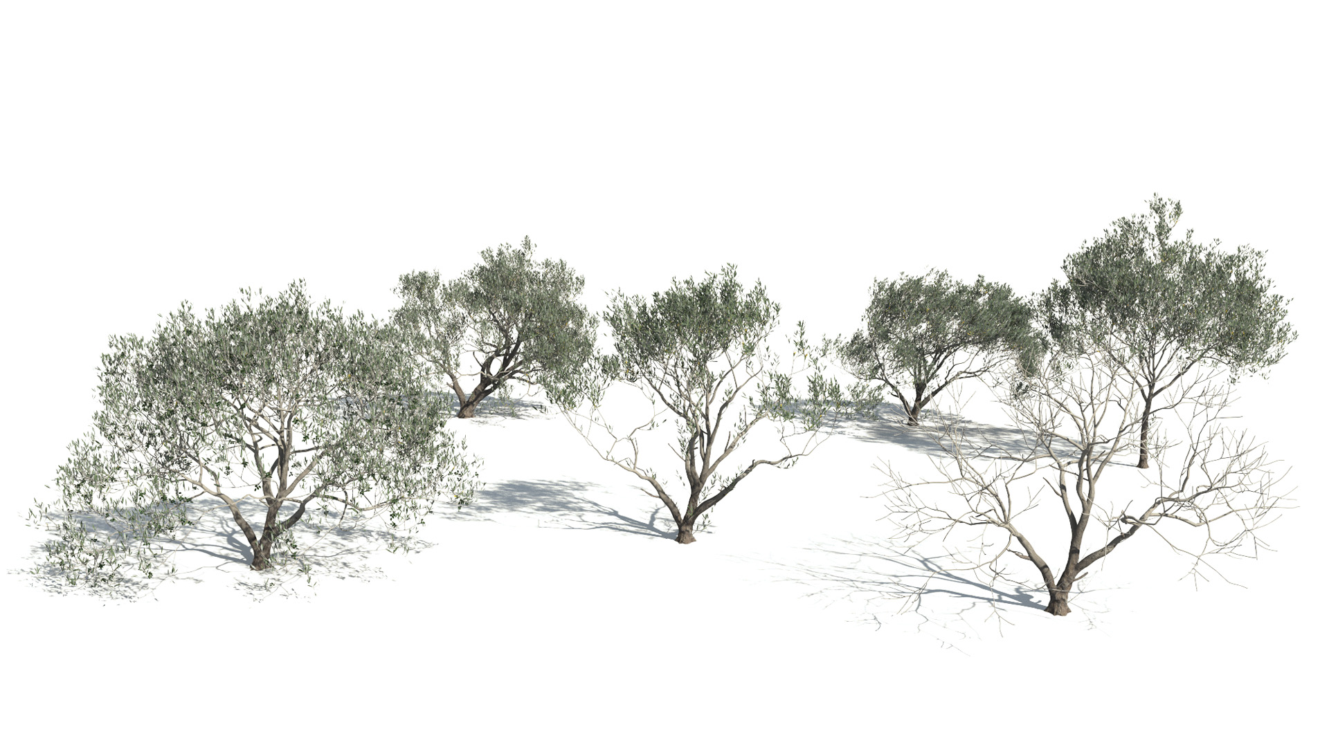 3D model of the Olive tree Olea europaea published parameters