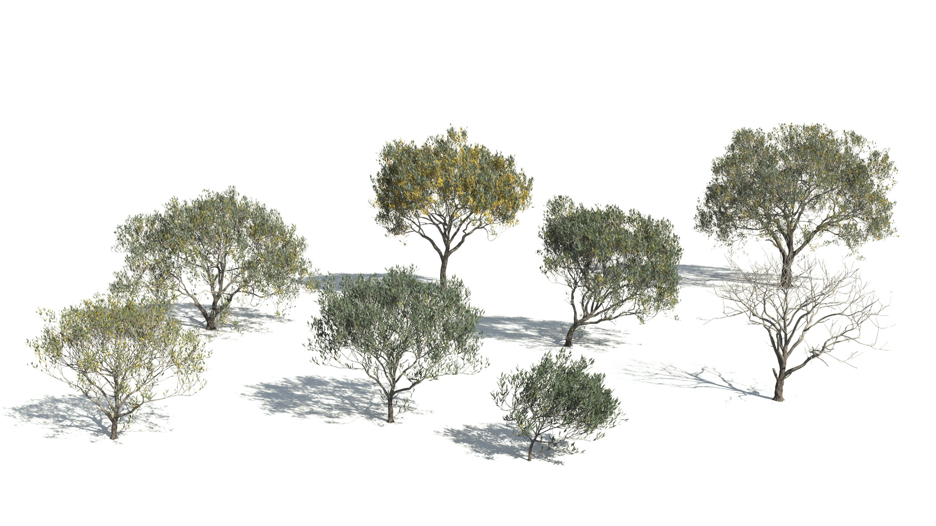 3D model of the Olive tree Olea europaea different presets