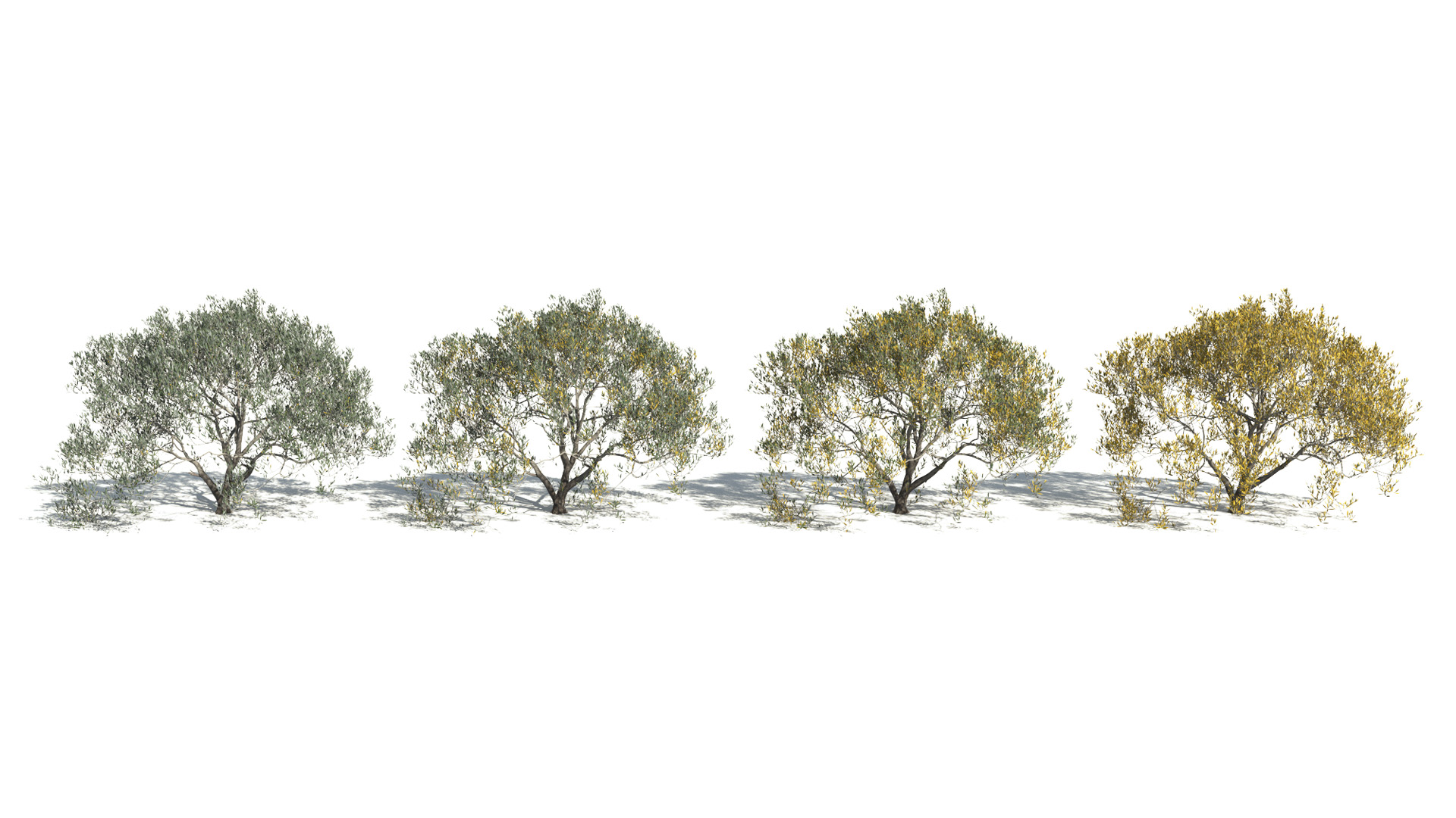 3D model of the Olive tree Olea europaea health variations