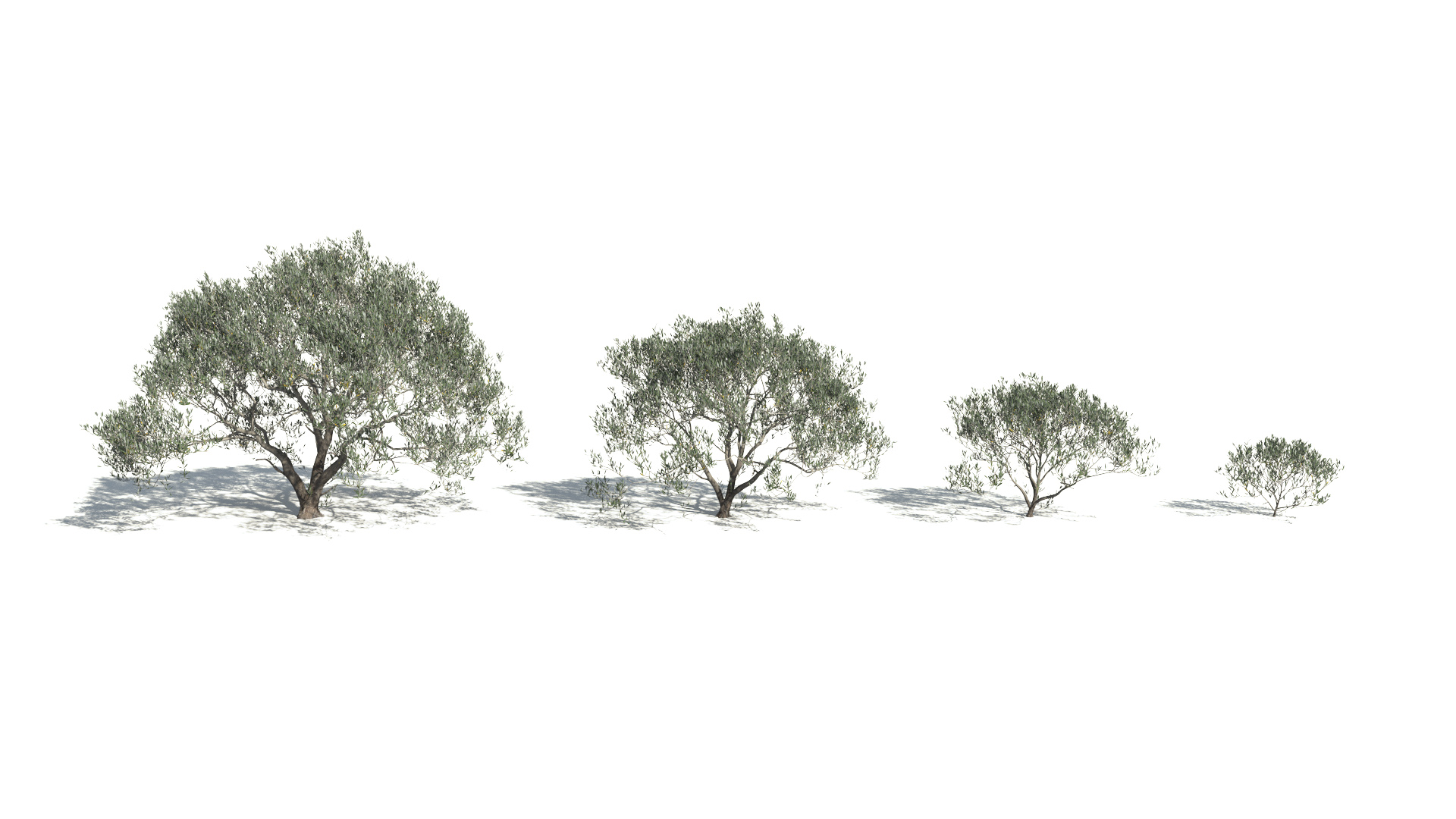 3D model of the Olive tree Olea europaea maturity variations