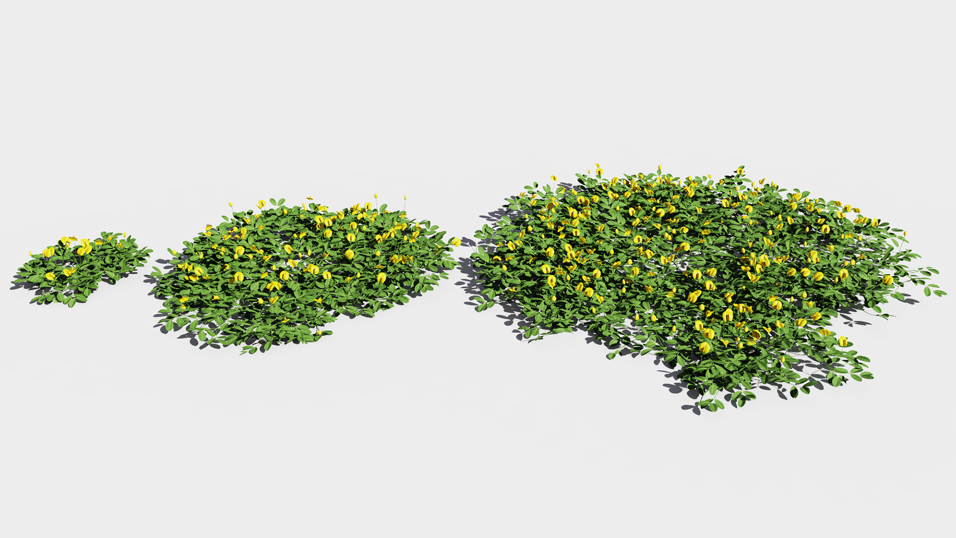 3D model of the Peanut plant Arachis duranensis maturity variations