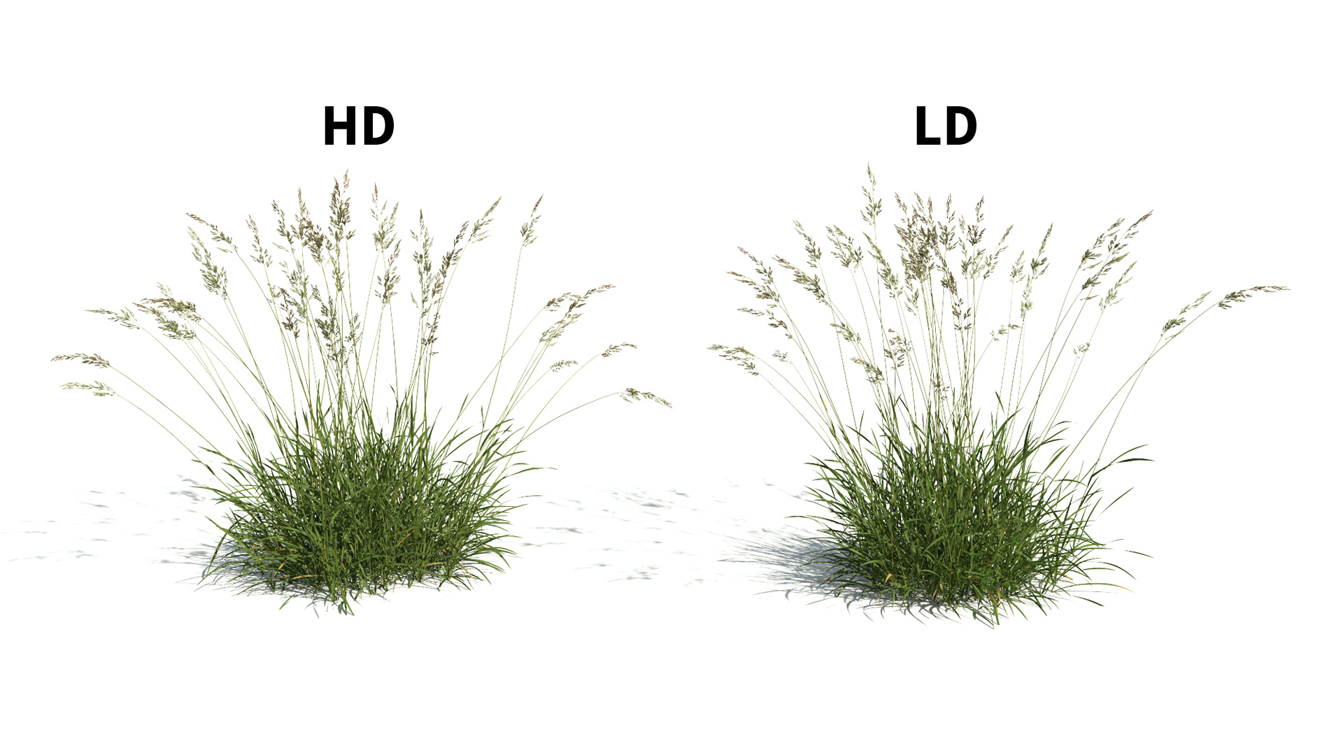 3D model of the Red fescue Festuca rubra included versions