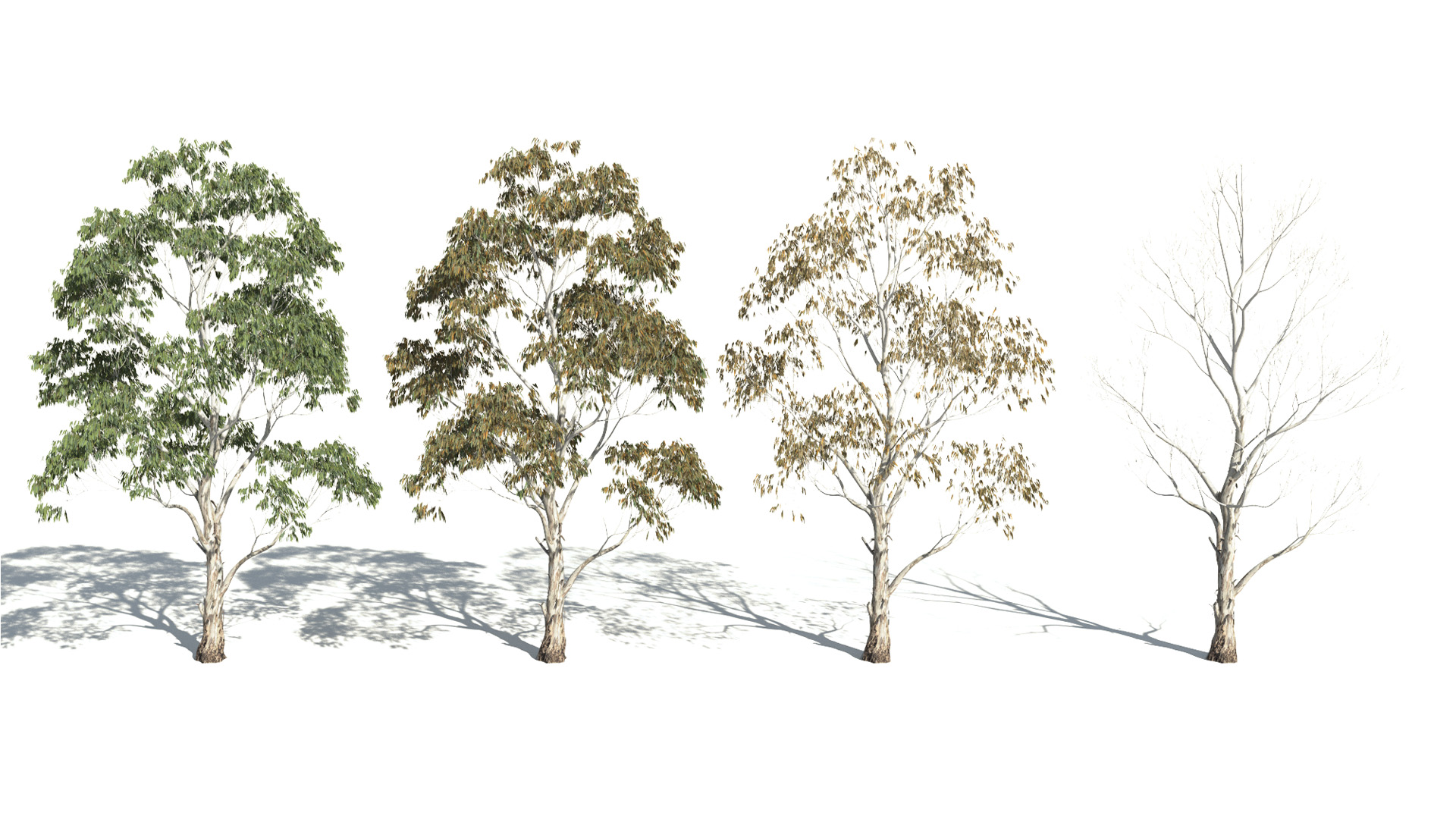 3D model of the Red river gum Eucalyptus camaldulensis health variations